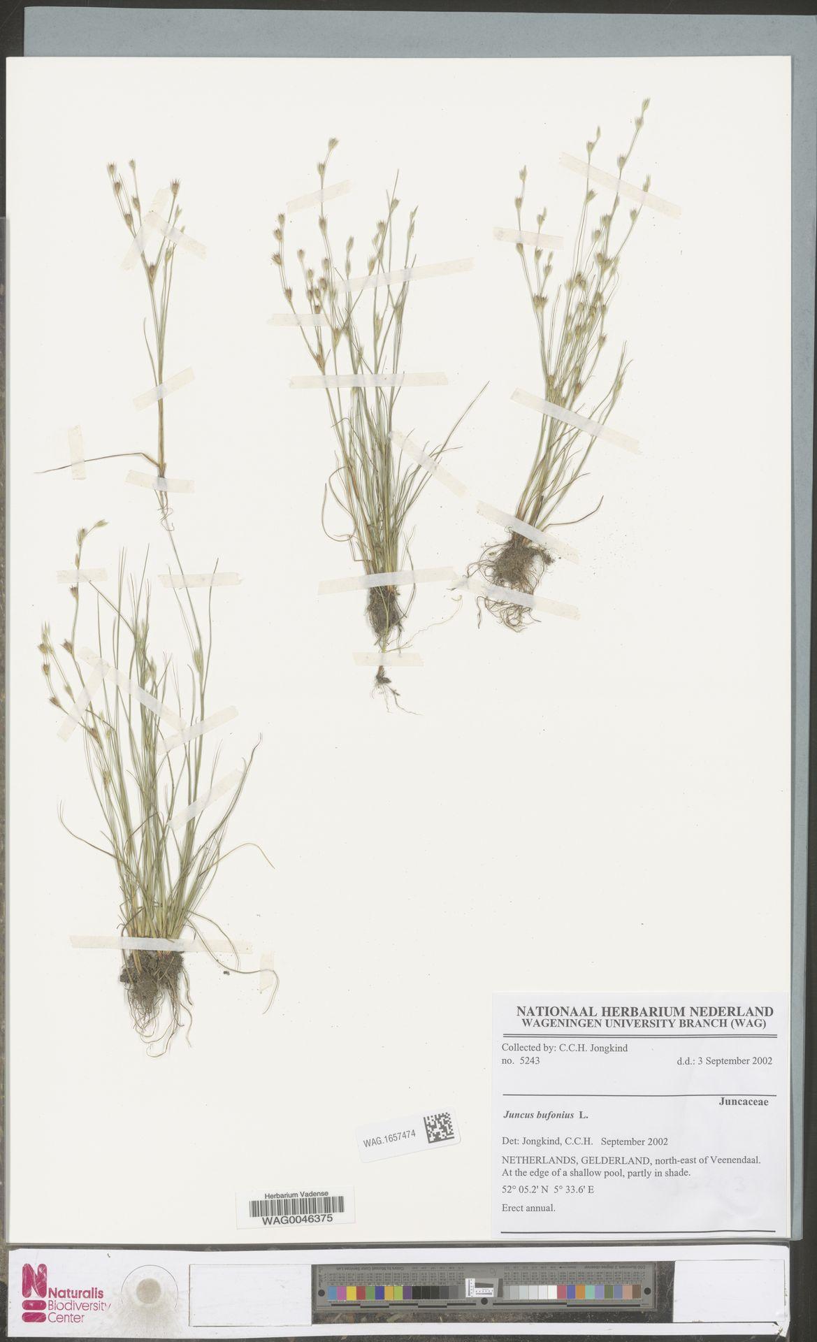 WAG.1657474 | Juncus bufonius L.