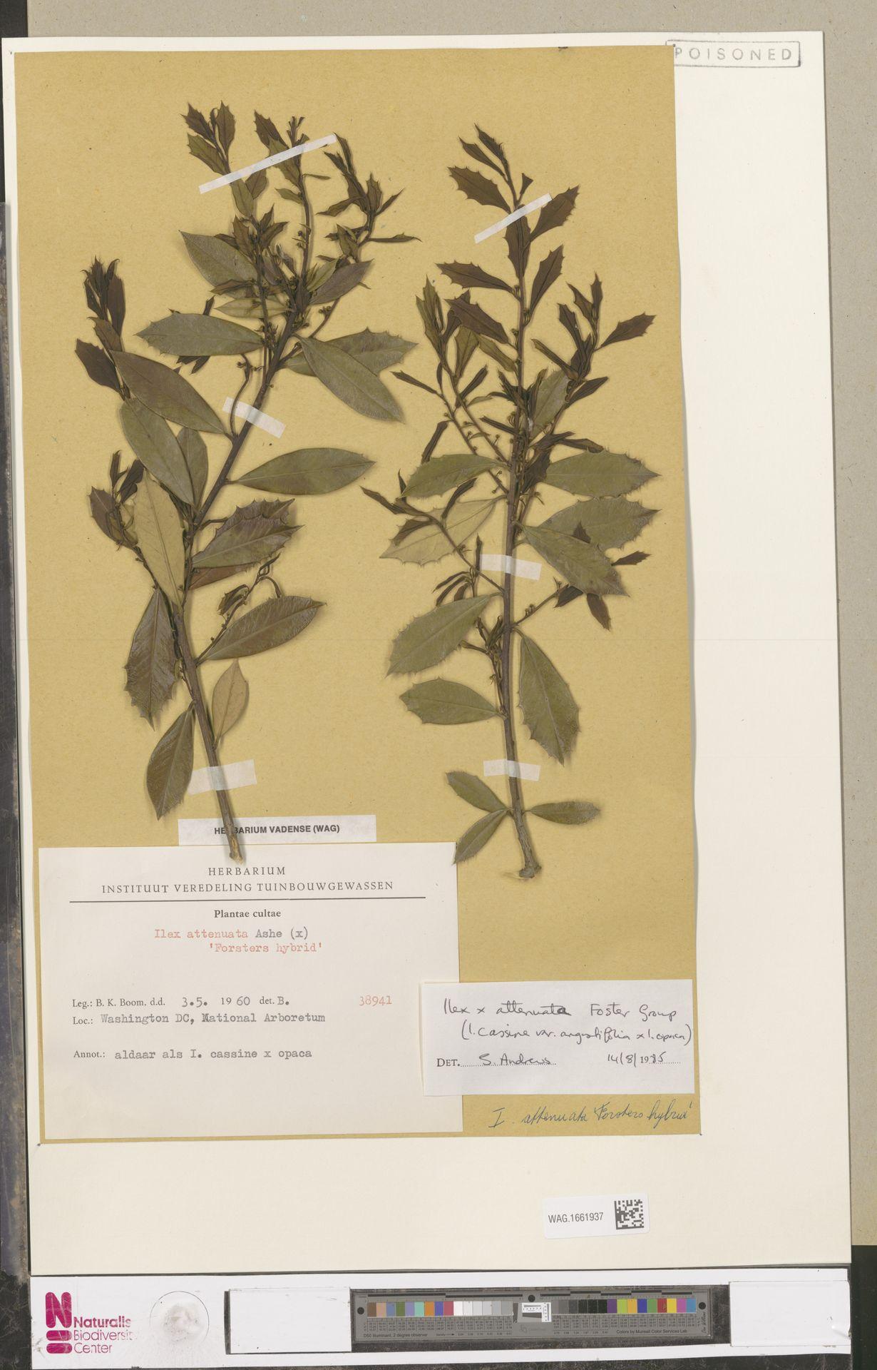 WAG.1661937 | Ilex myrtifolia × opaca L.