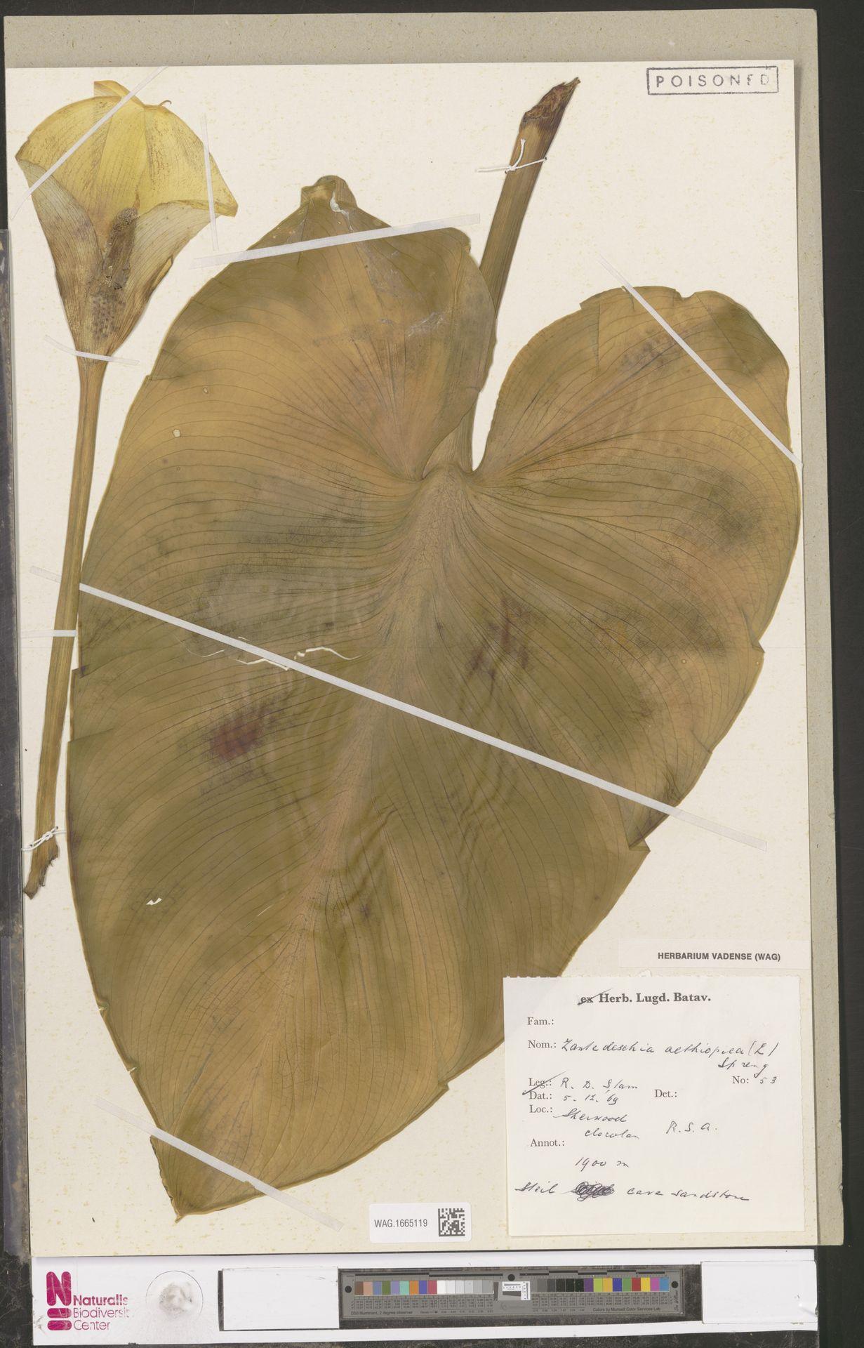 WAG.1665119 | Zantedeschia aethiopica (L.) Spreng.