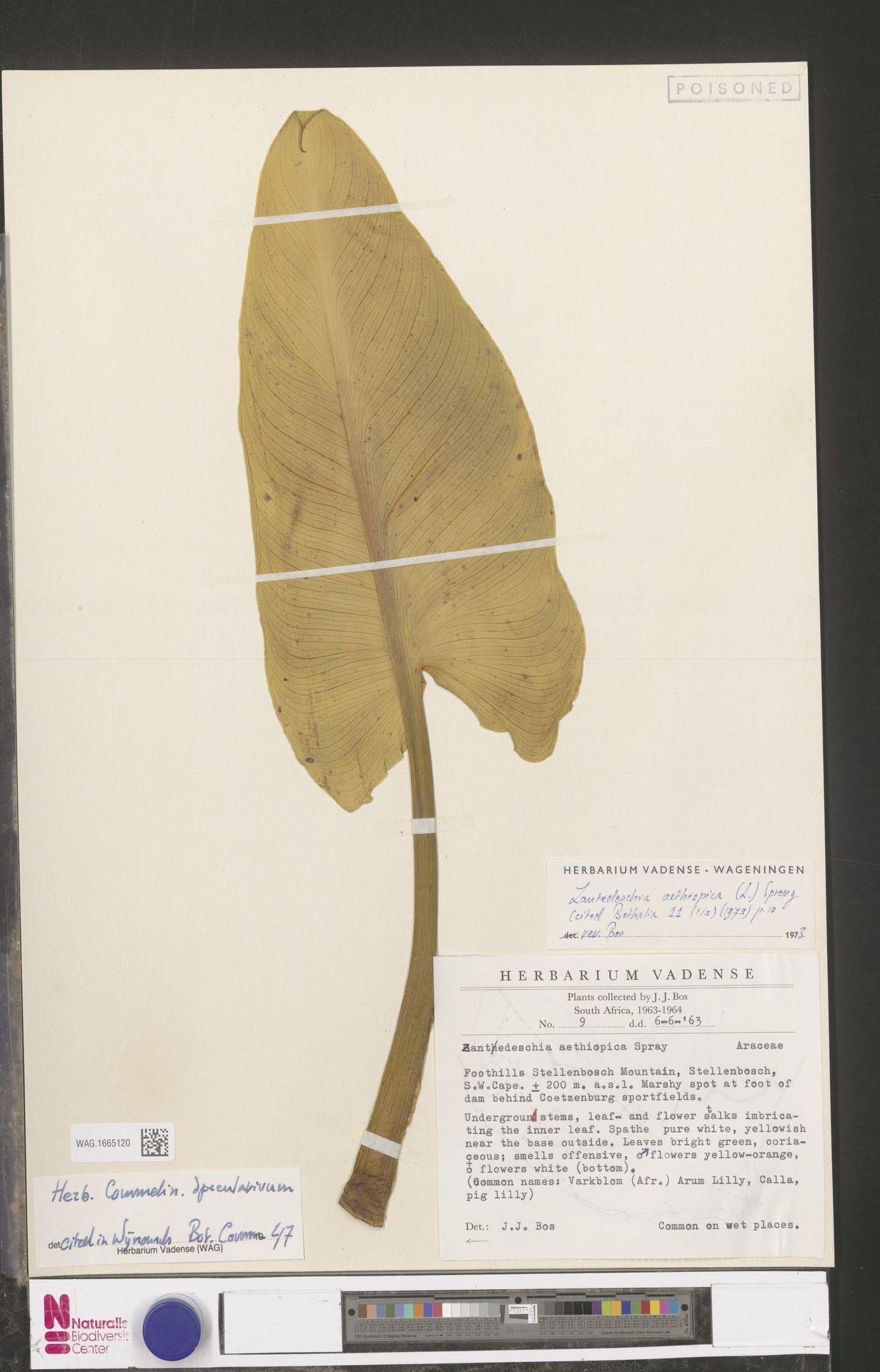 WAG.1665120   Zantedeschia aethiopica (L.) Spreng.