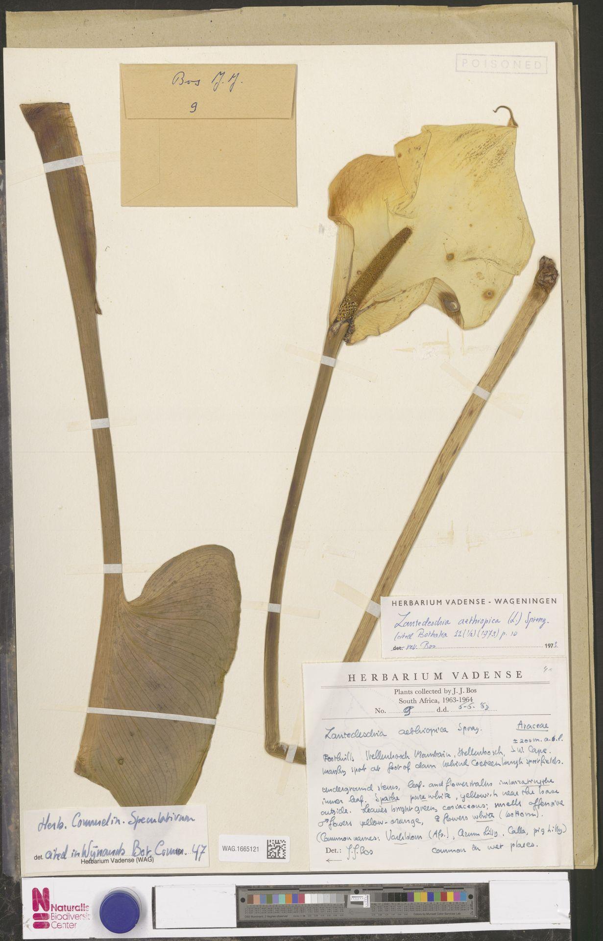 WAG.1665121 | Zantedeschia aethiopica (L.) Spreng.