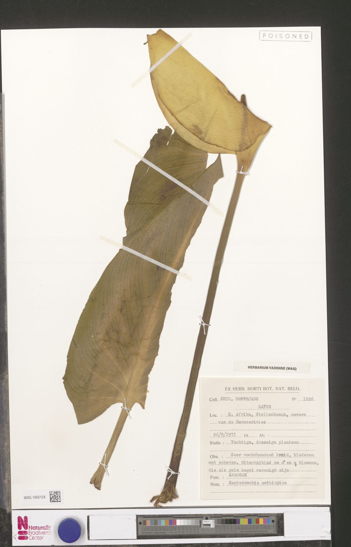 WAG.1665124 | Zantedeschia aethiopica (L.) Spreng.