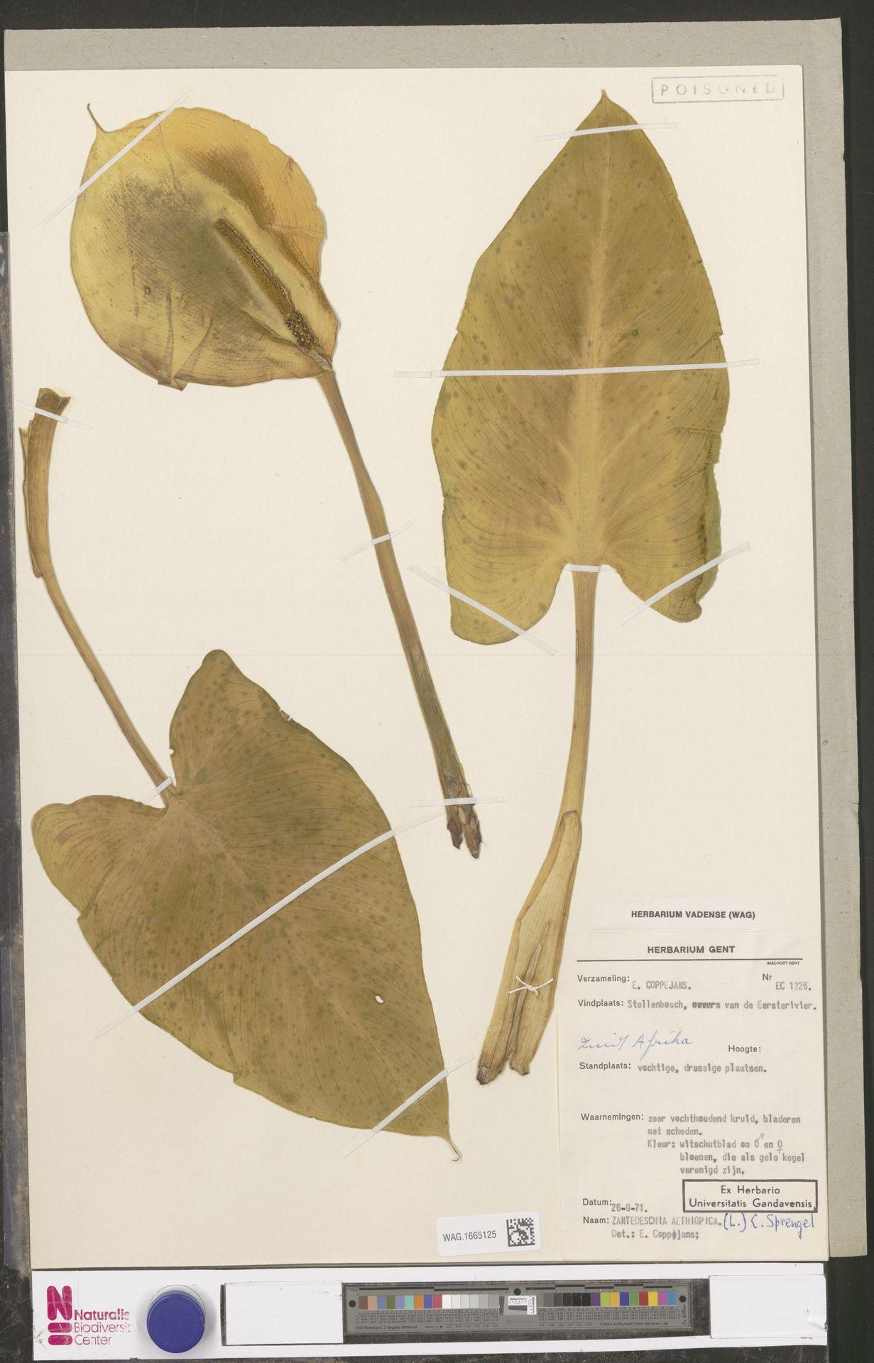 WAG.1665125 | Zantedeschia aethiopica (L.) Spreng.
