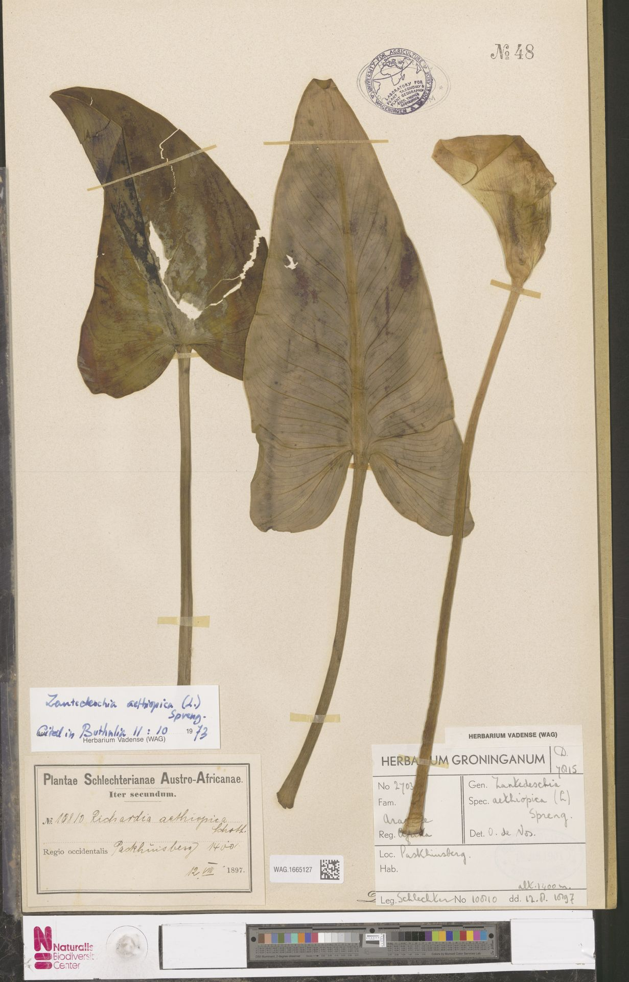 WAG.1665127 | Zantedeschia aethiopica (L.) Spreng.