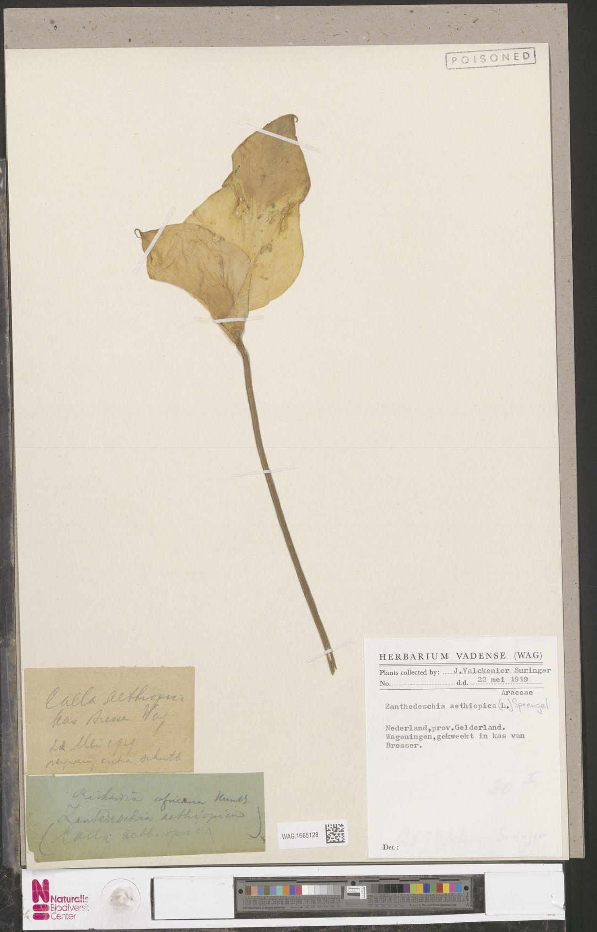WAG.1665128 | Zantedeschia aethiopica (L.) Spreng.
