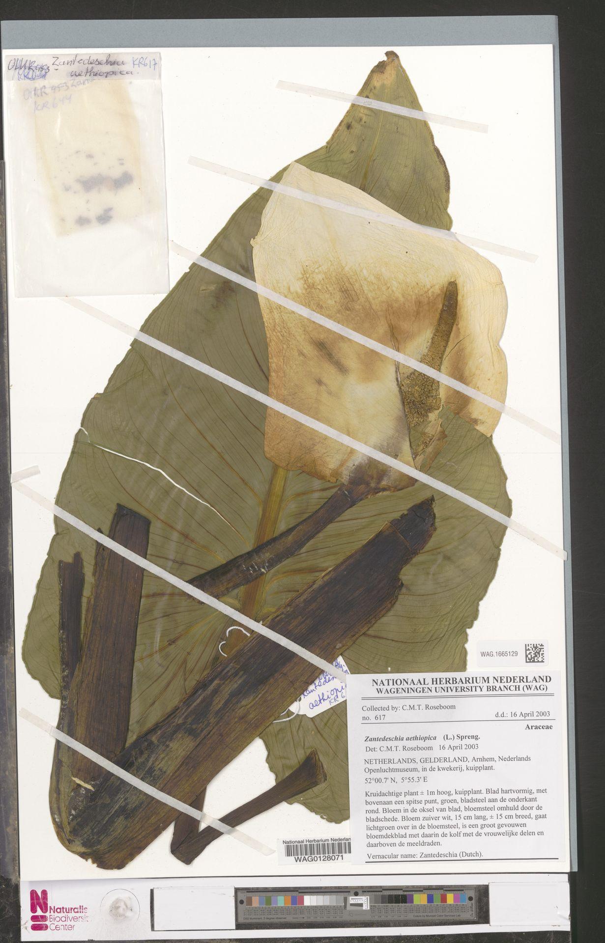 WAG.1665129 | Zantedeschia aethiopica (L.) Spreng.