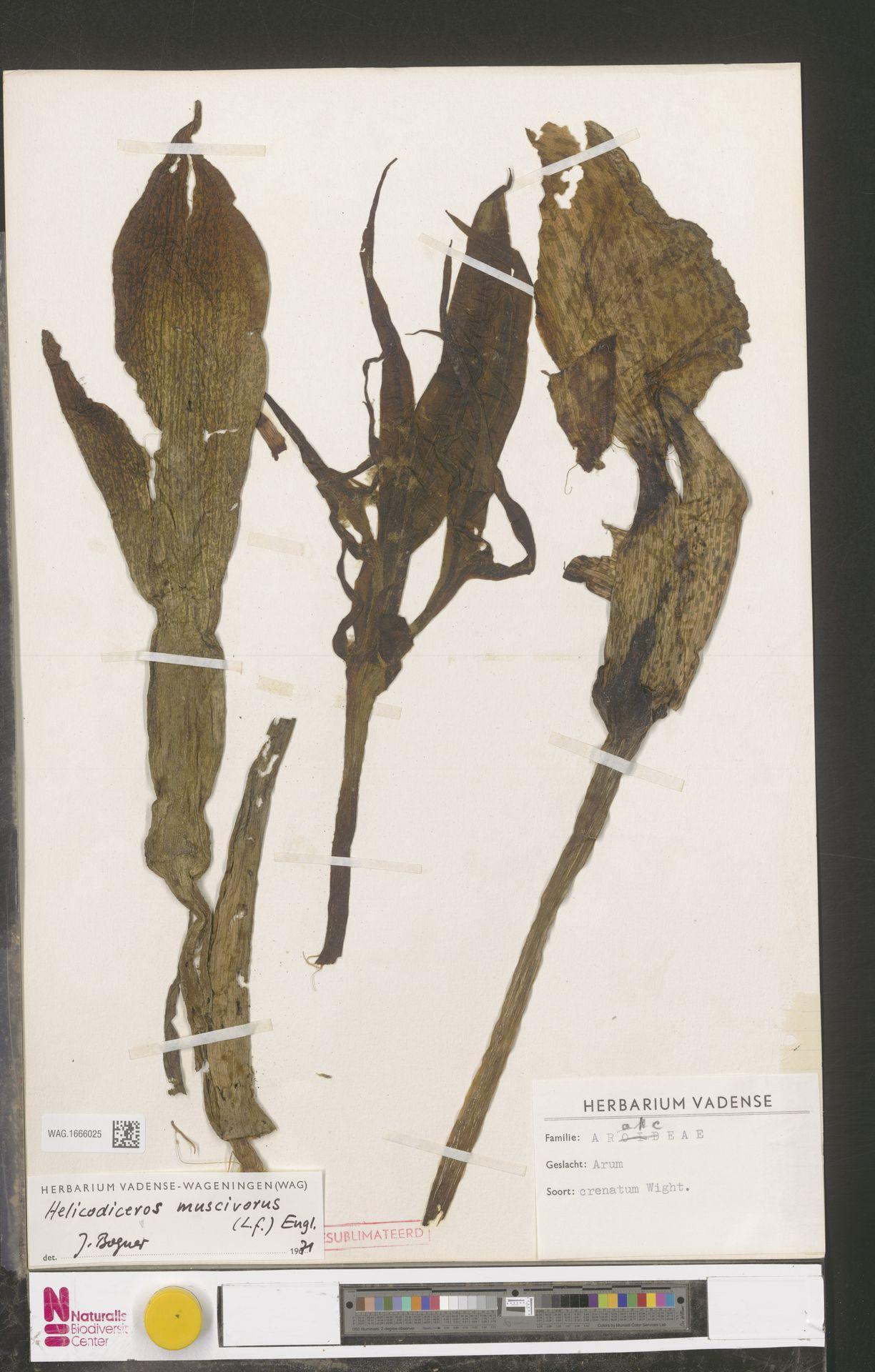 WAG.1666025 | Helicodiceros muscivorus (L.f.) Engl.