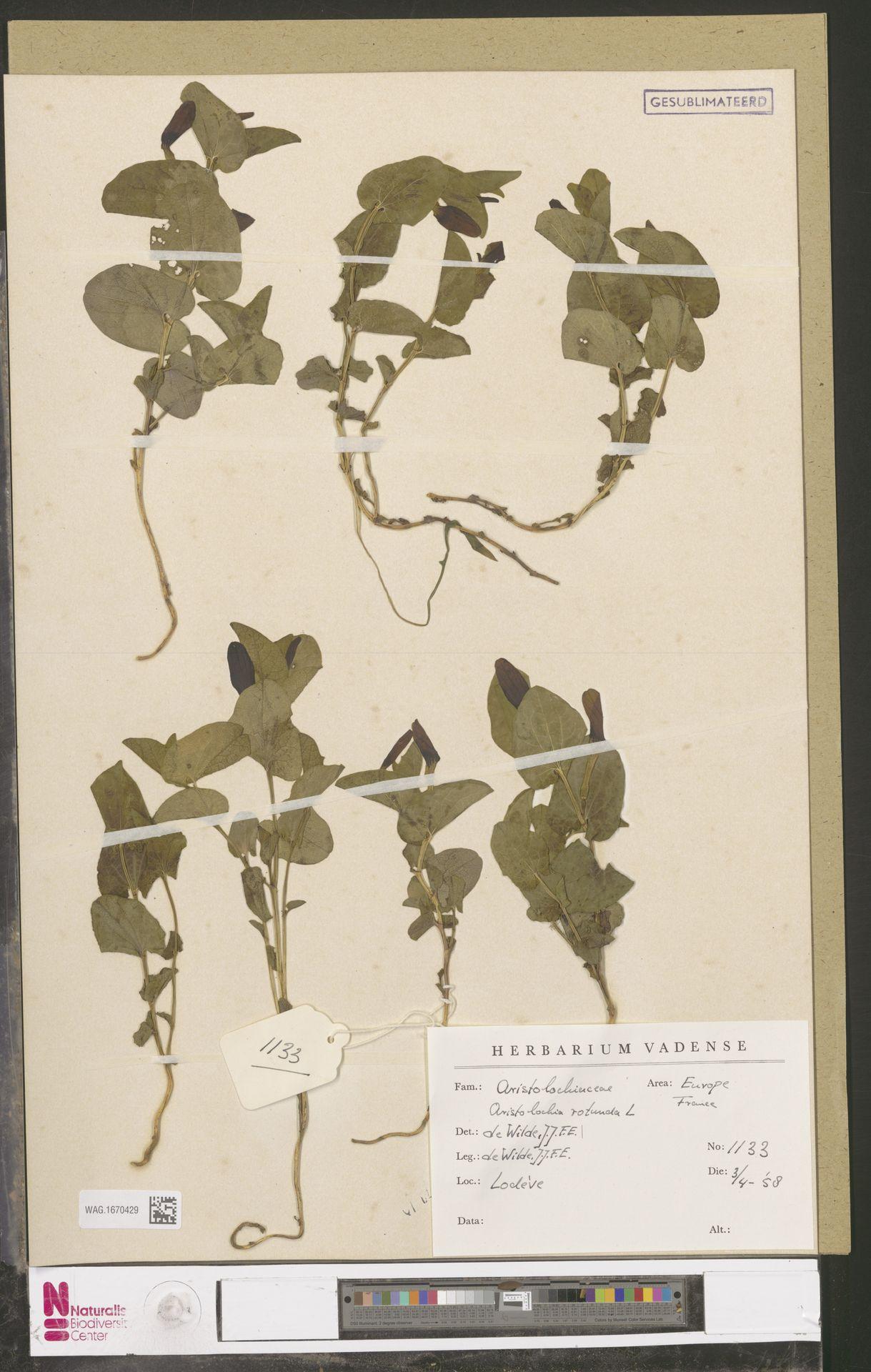 WAG.1670429   Aristolochia rotunda L.