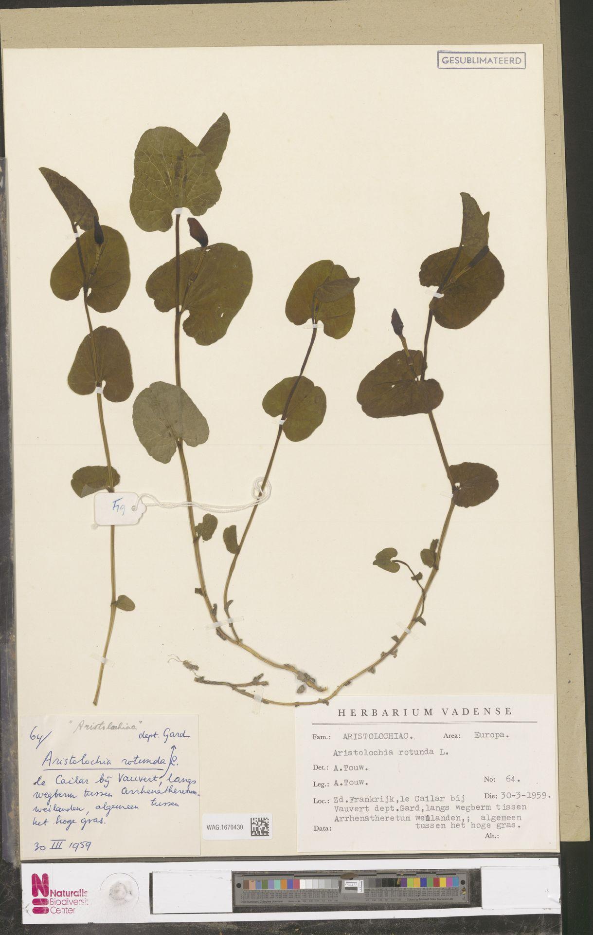 WAG.1670430 | Aristolochia rotunda L.