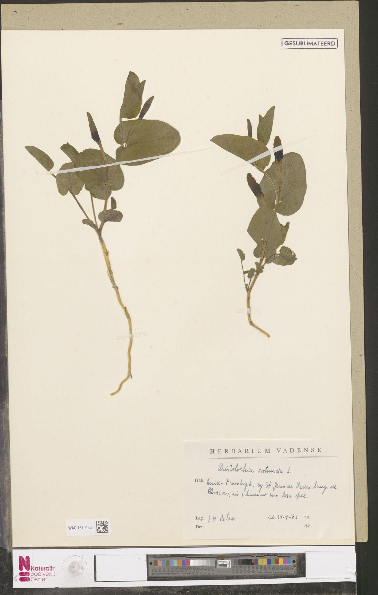 WAG.1670433 | Aristolochia rotunda L.