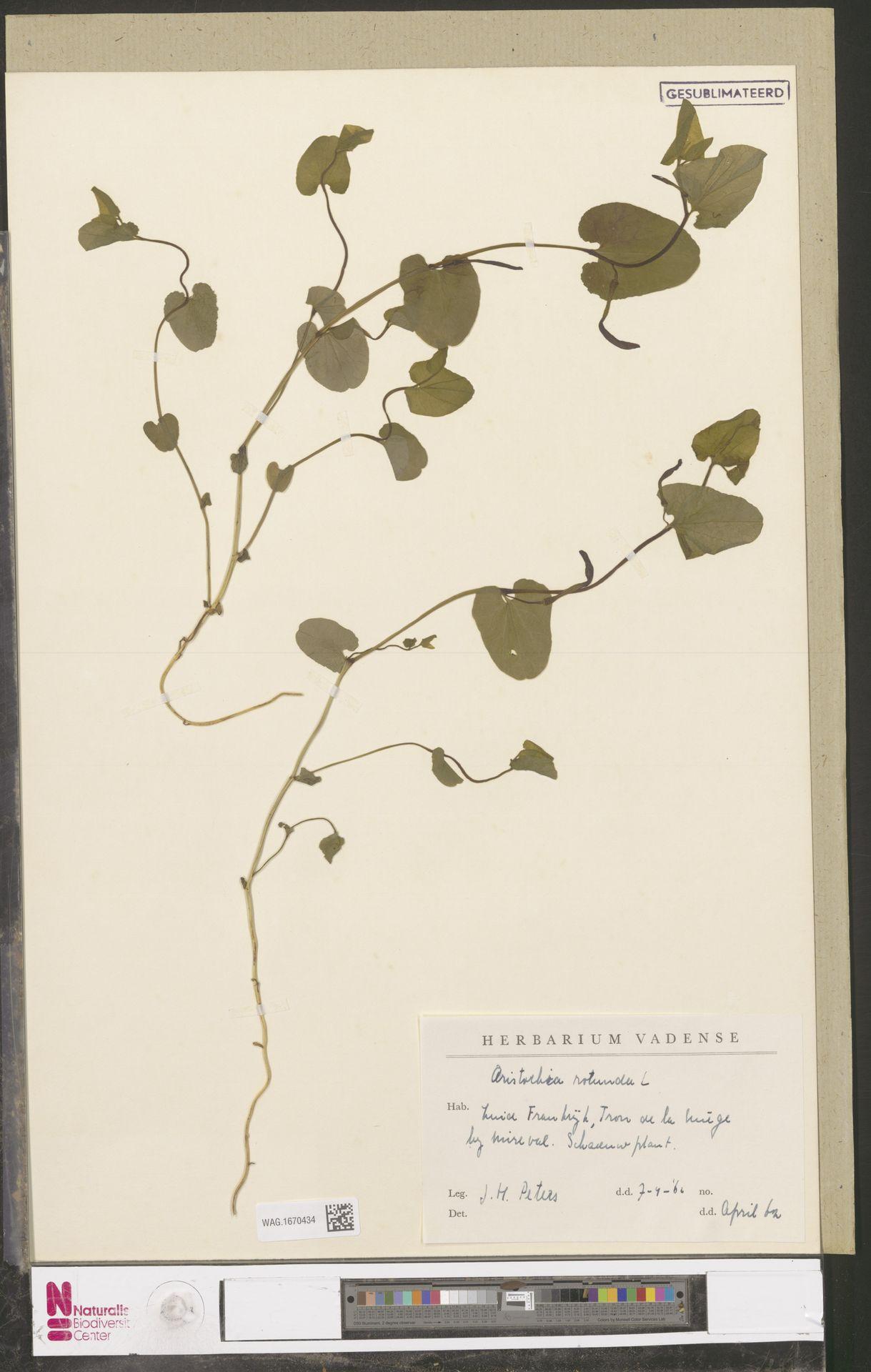 WAG.1670434 | Aristolochia rotunda L.
