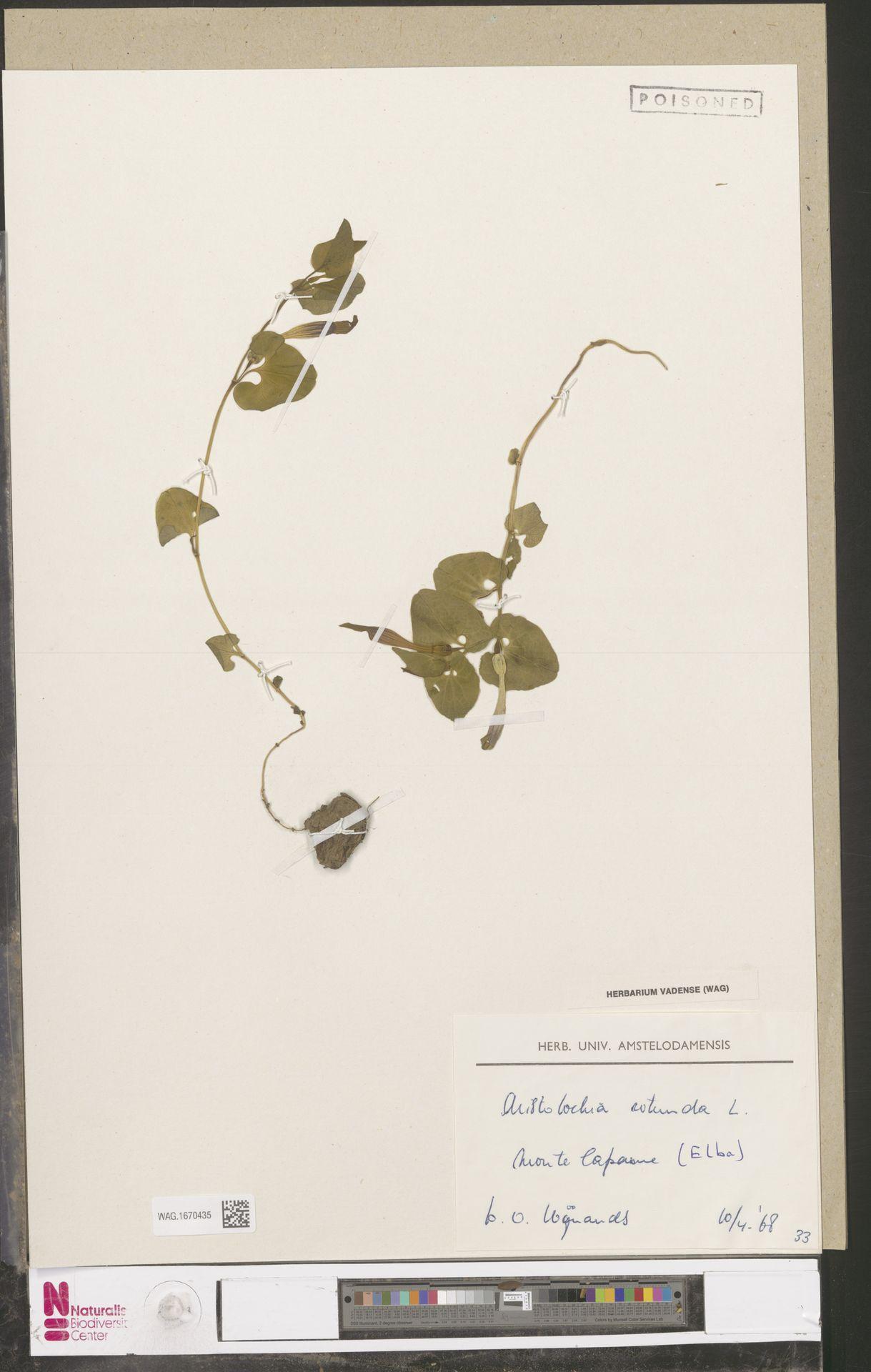 WAG.1670435 | Aristolochia rotunda L.
