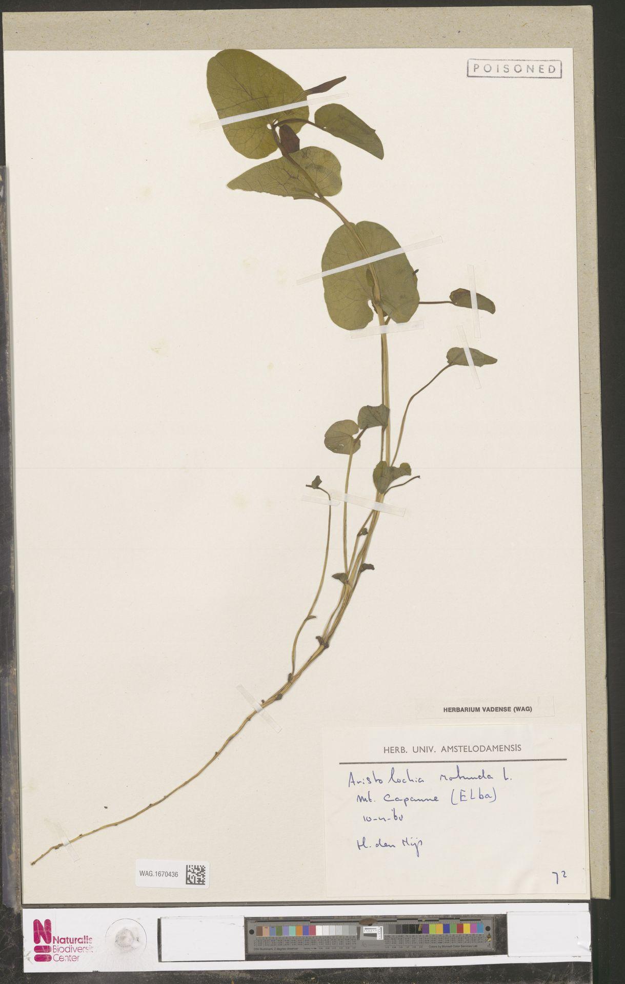 WAG.1670436 | Aristolochia rotunda L.
