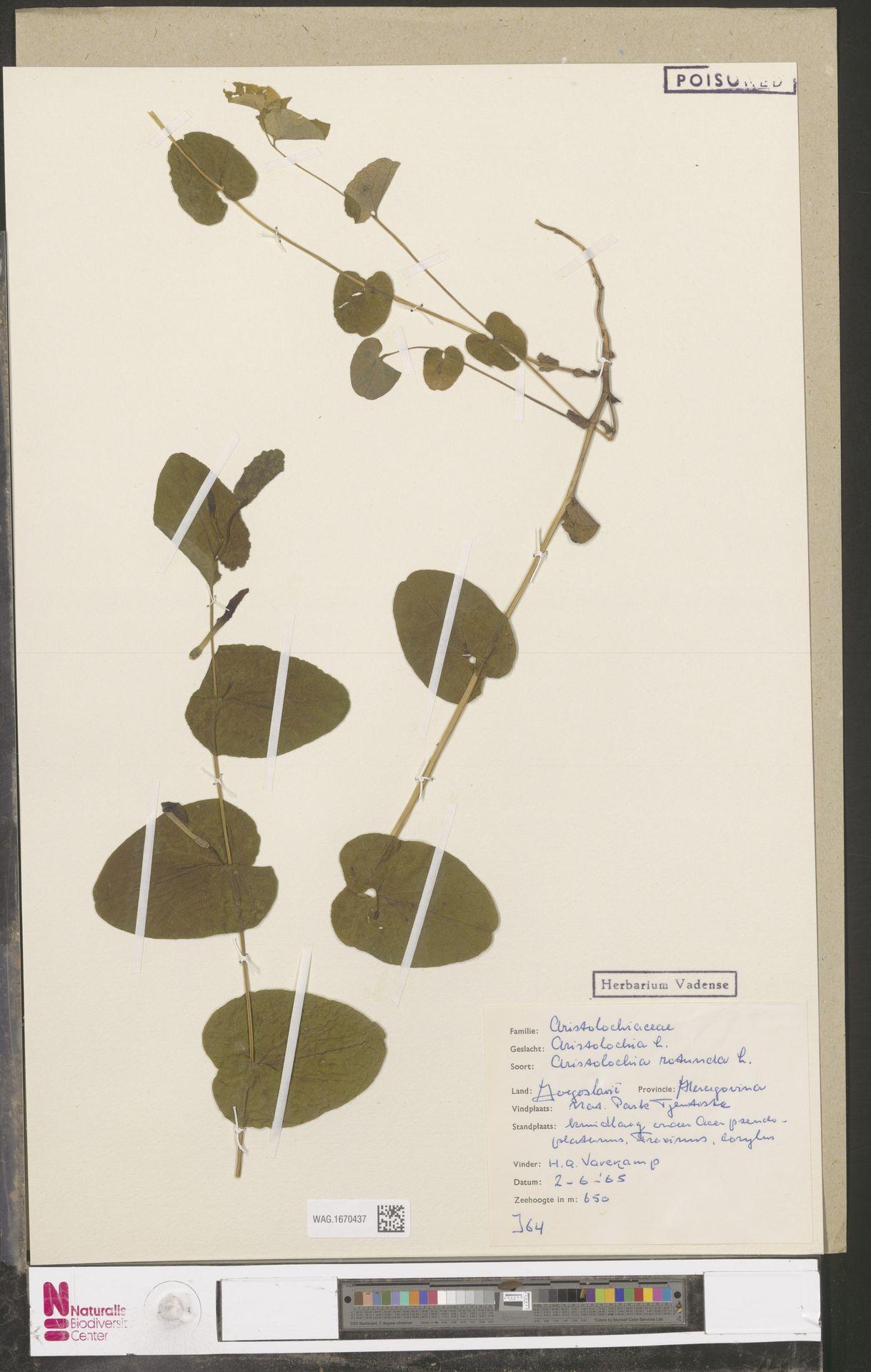 WAG.1670437 | Aristolochia rotunda L.