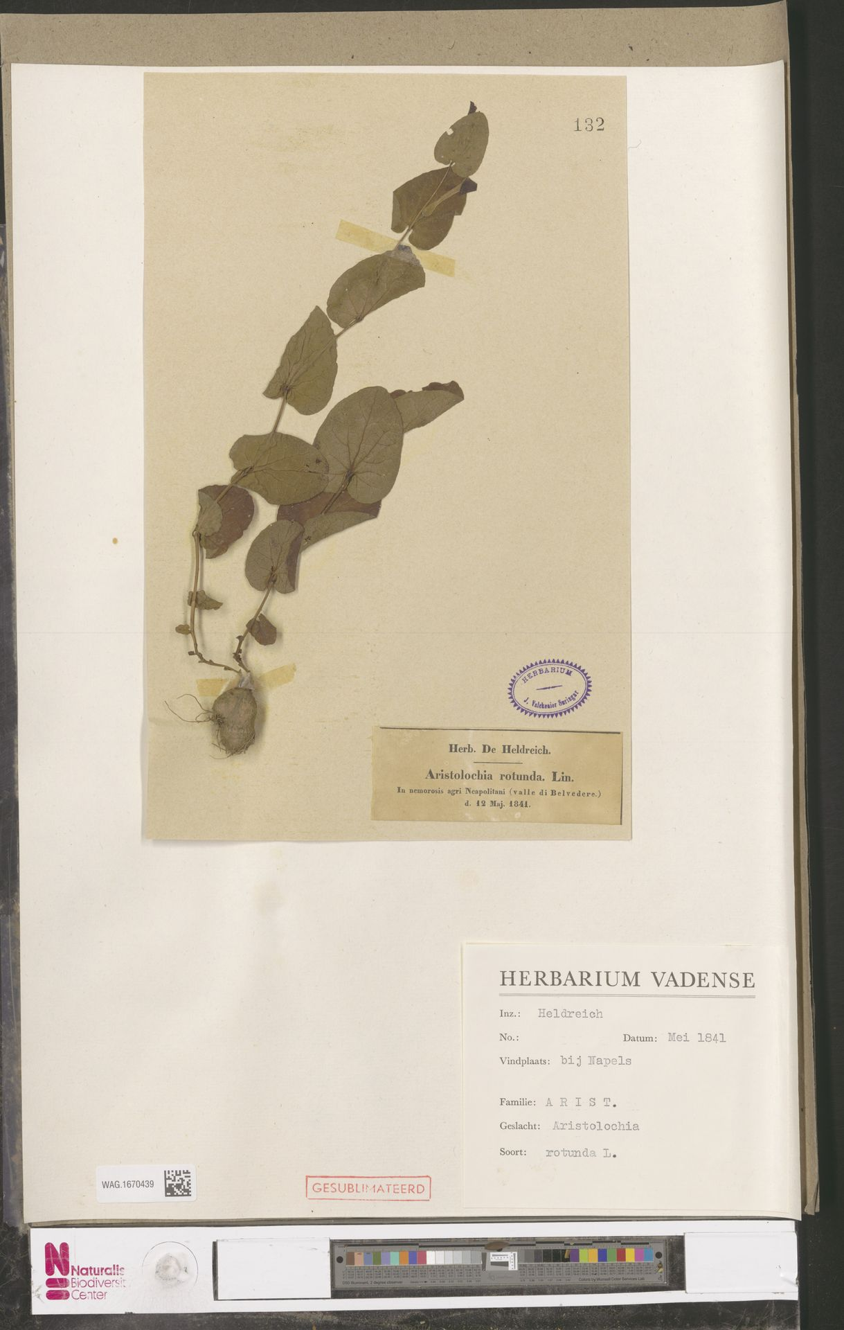 WAG.1670439 | Aristolochia rotunda L.