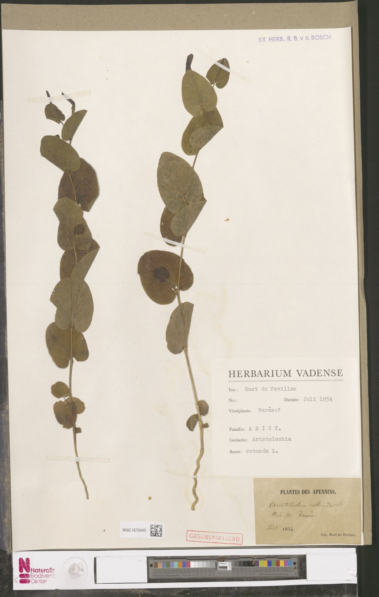 WAG.1670440 | Aristolochia rotunda L.