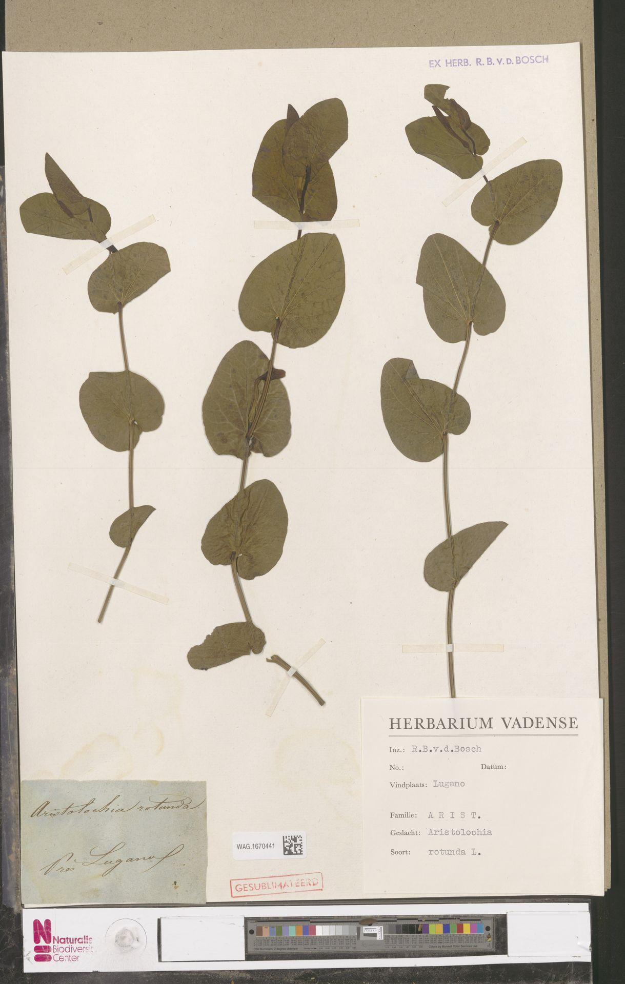 WAG.1670441   Aristolochia rotunda L.