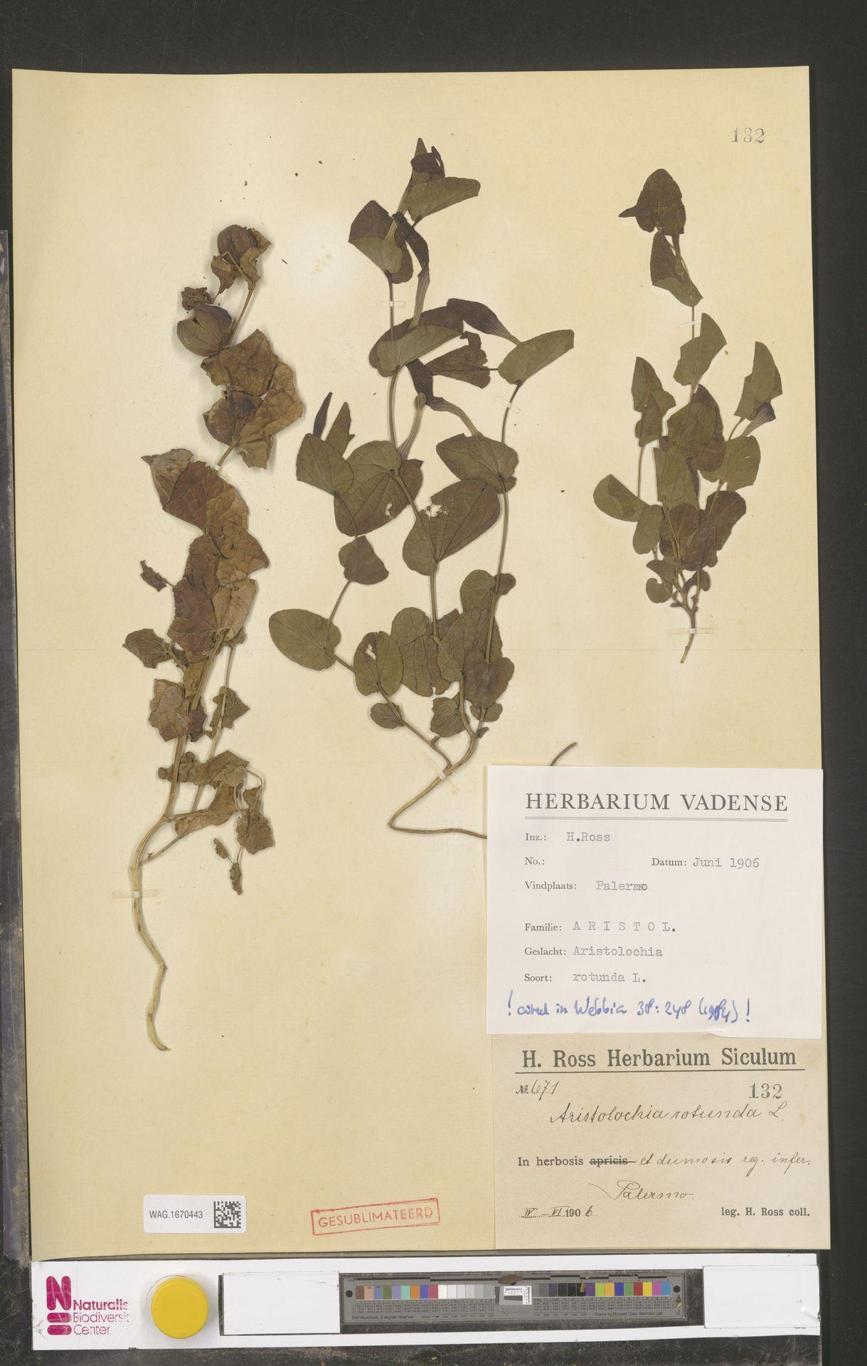 WAG.1670443 | Aristolochia rotunda L.