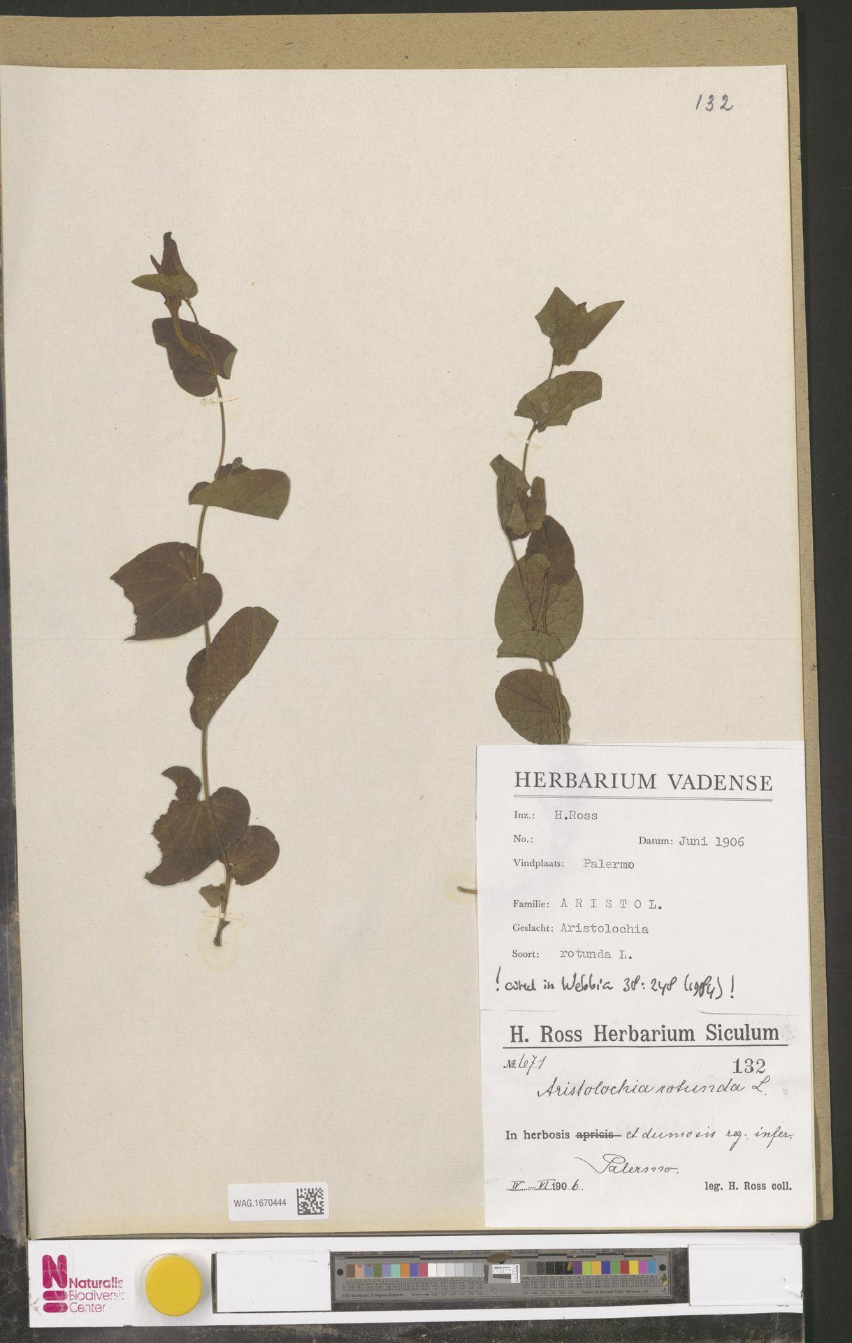 WAG.1670444 | Aristolochia rotunda L.