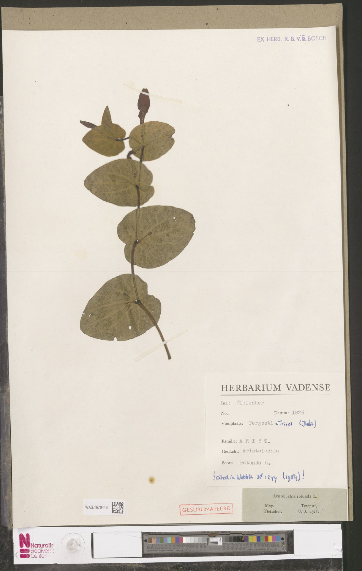 WAG.1670446 | Aristolochia rotunda L.