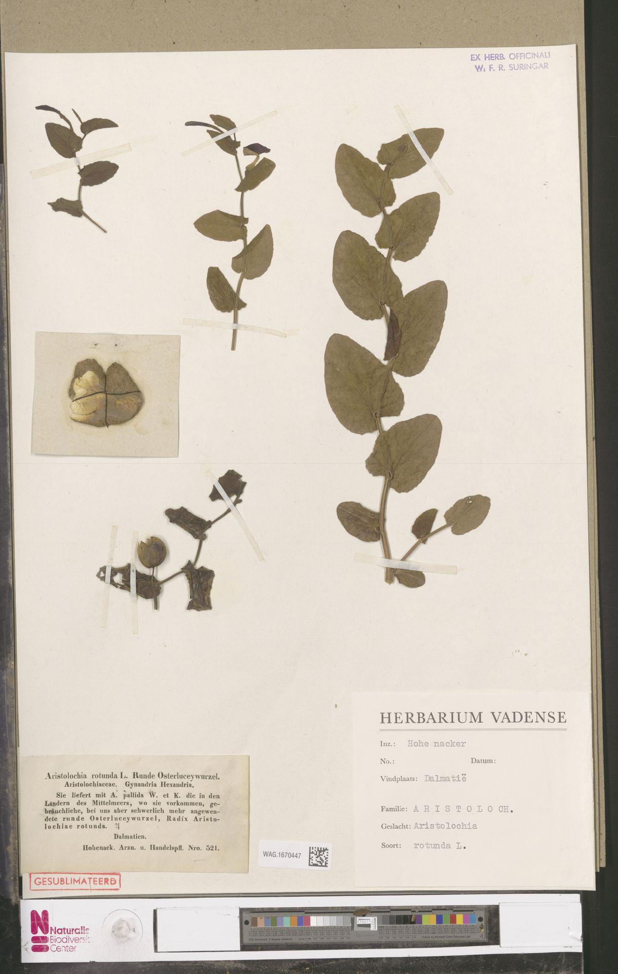 WAG.1670447 | Aristolochia rotunda L.