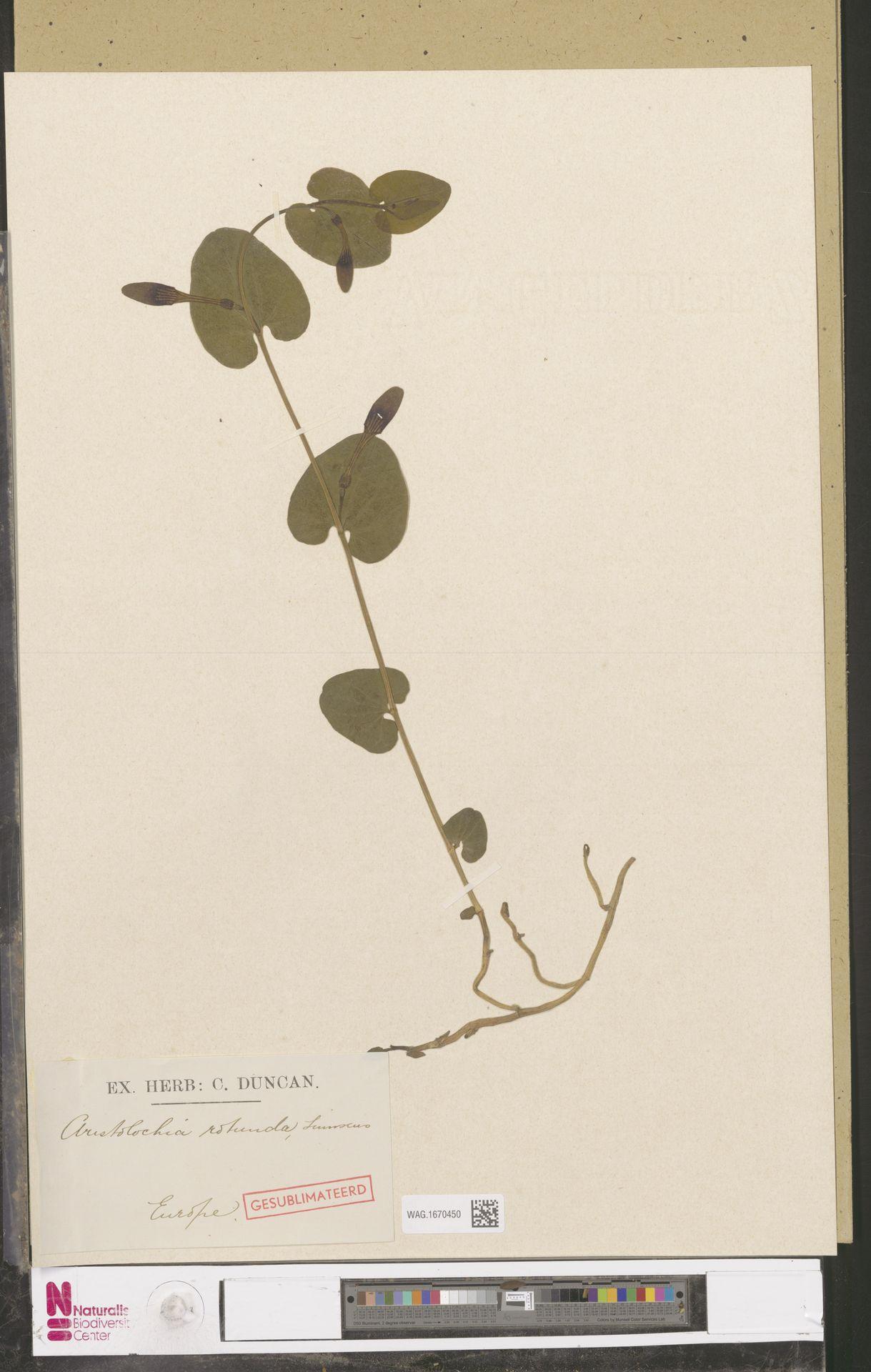 WAG.1670450 | Aristolochia rotunda L.