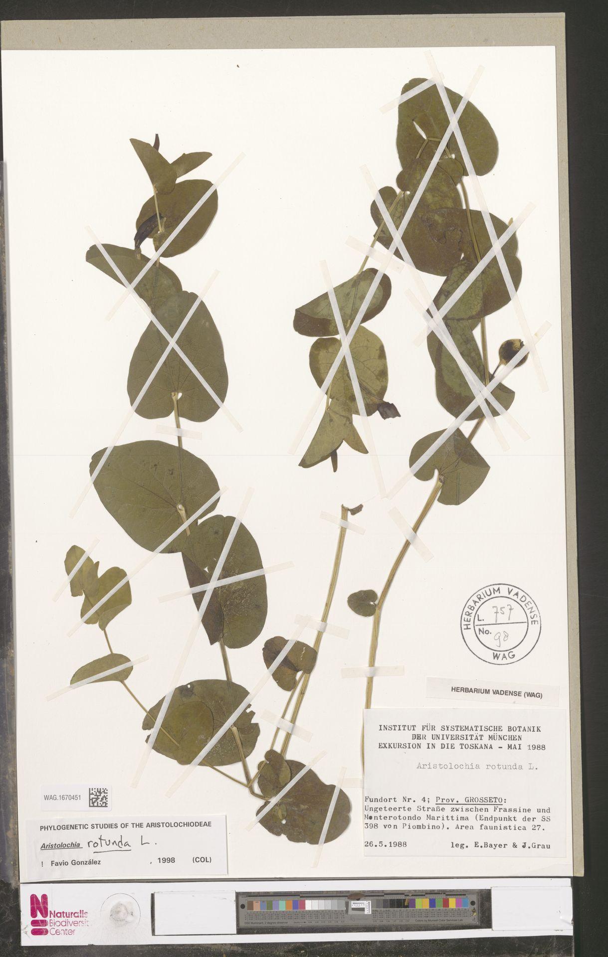WAG.1670451 | Aristolochia rotunda L.
