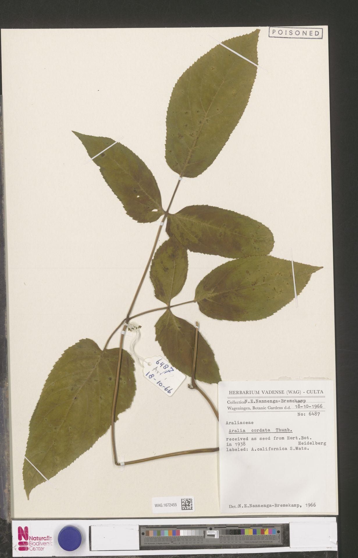 WAG.1672455 | Aralia cordata Thunb.