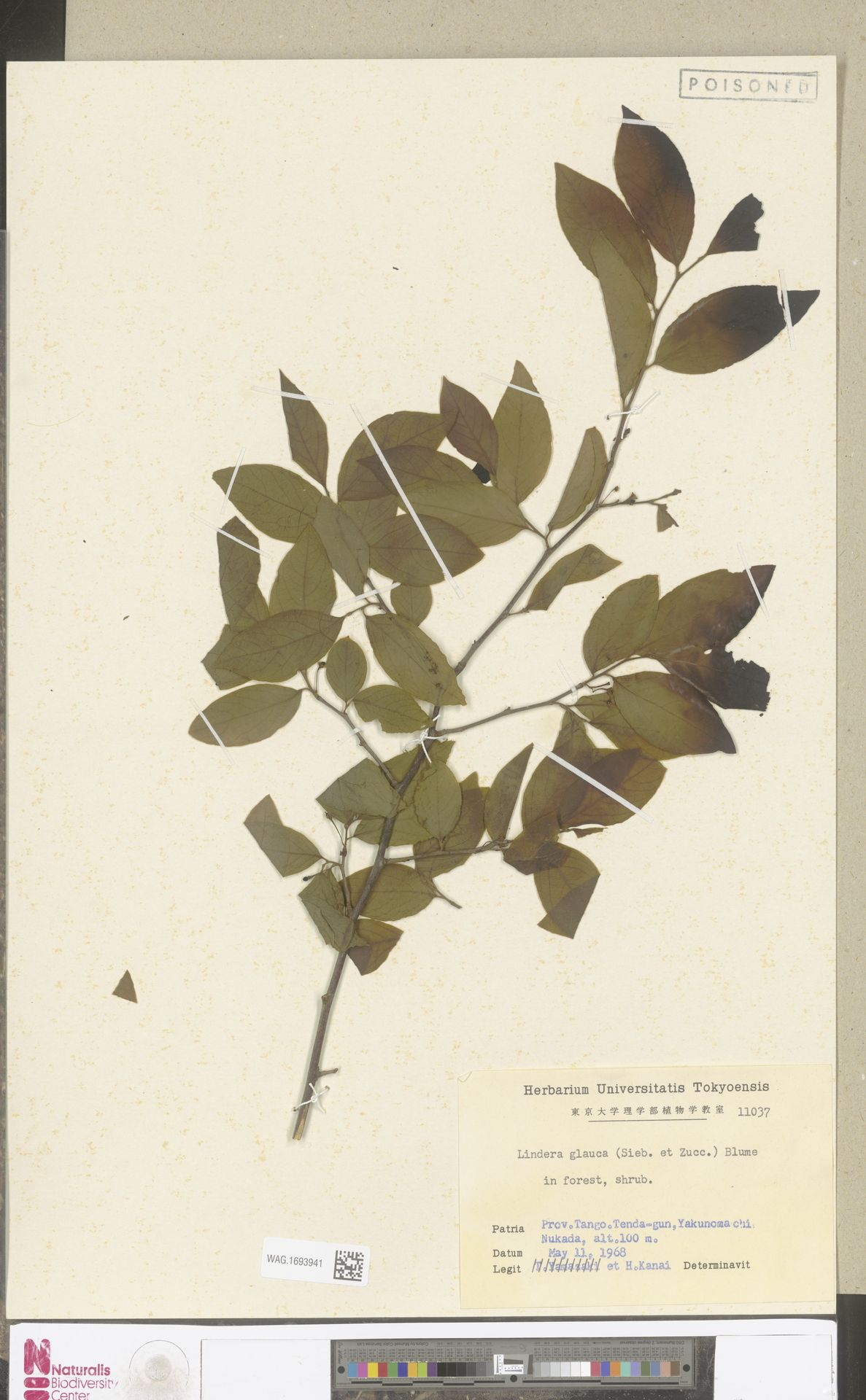 WAG.1693941   Lindera glauca Blume