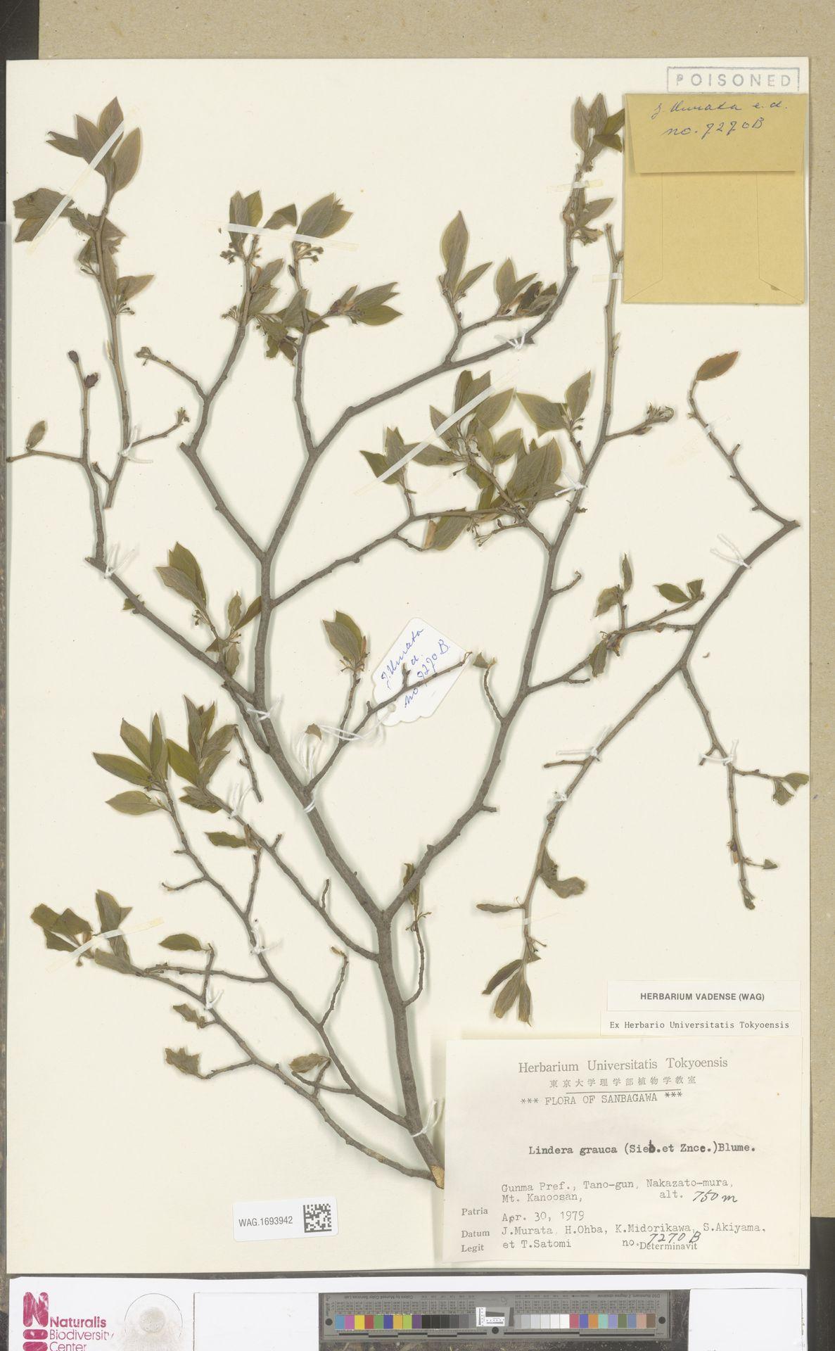 WAG.1693942 | Lindera glauca Blume