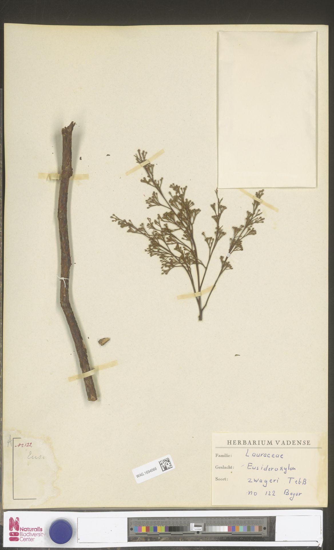 WAG.1694066 | Eusideroxylon zwageri Teijsm. & Binn.
