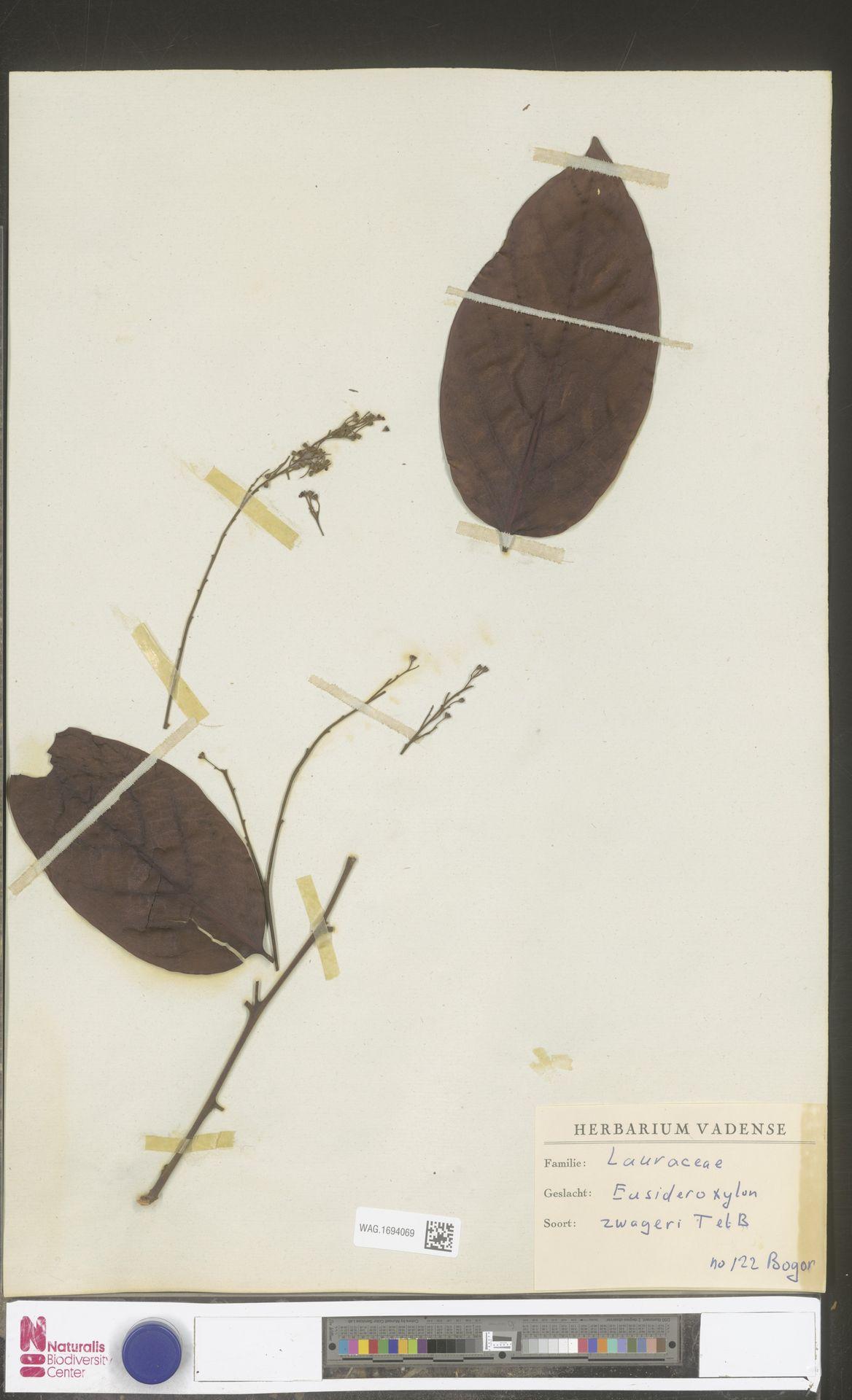 WAG.1694069 | Eusideroxylon zwageri Teijsm. & Binn.