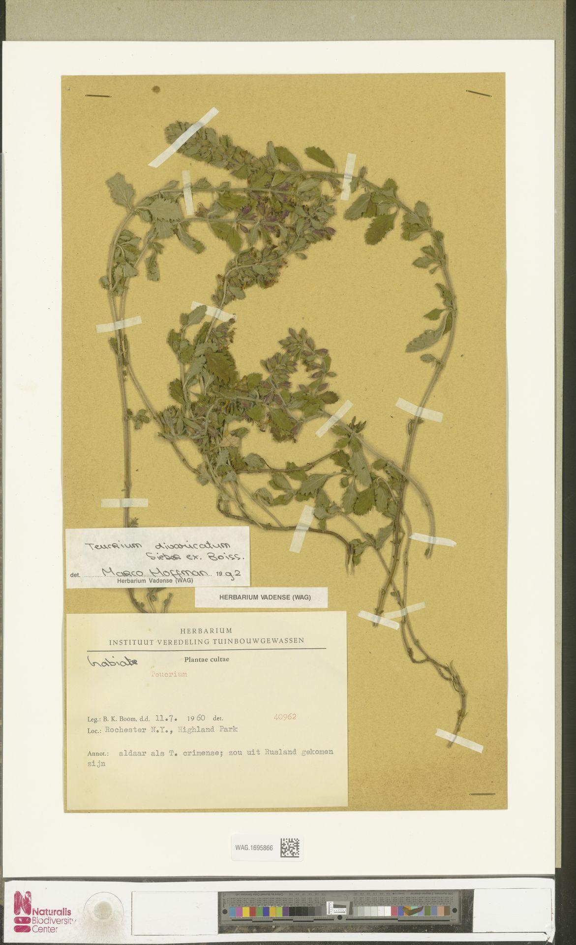 WAG.1695866 | Teucrium divaricatum Sieber ex Boiss.