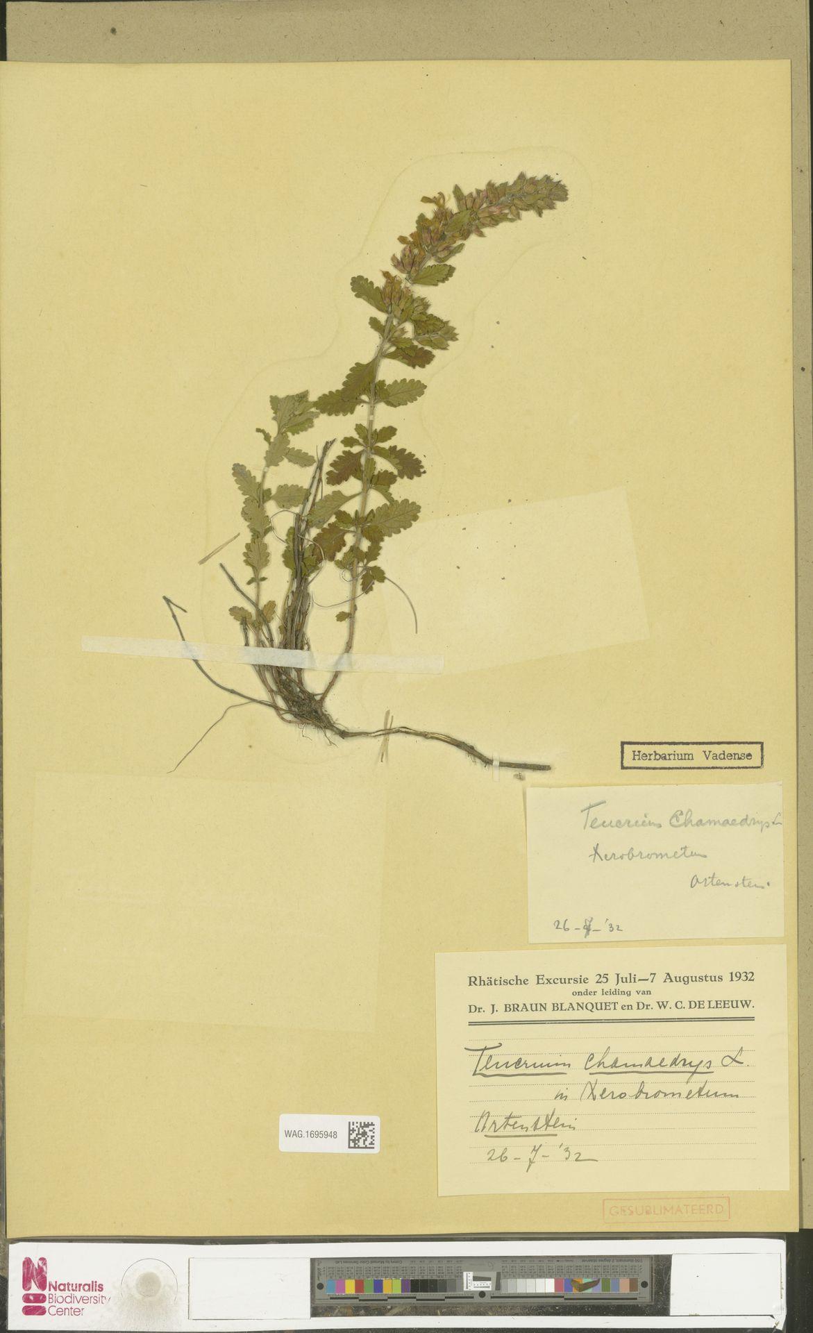 WAG.1695948   Teucrium chamaedrys L.