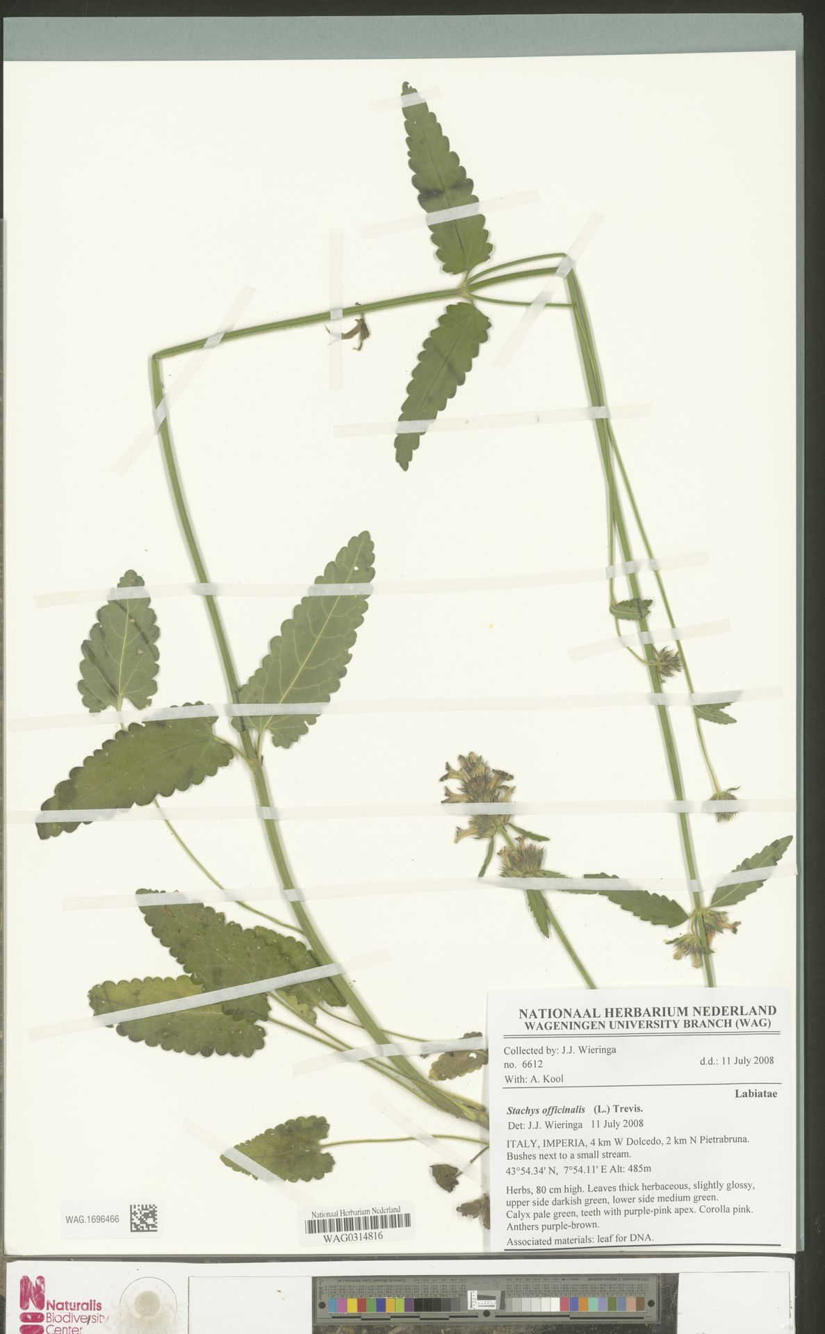 WAG.1696466 | Stachys officinalis (L.) Trevis.