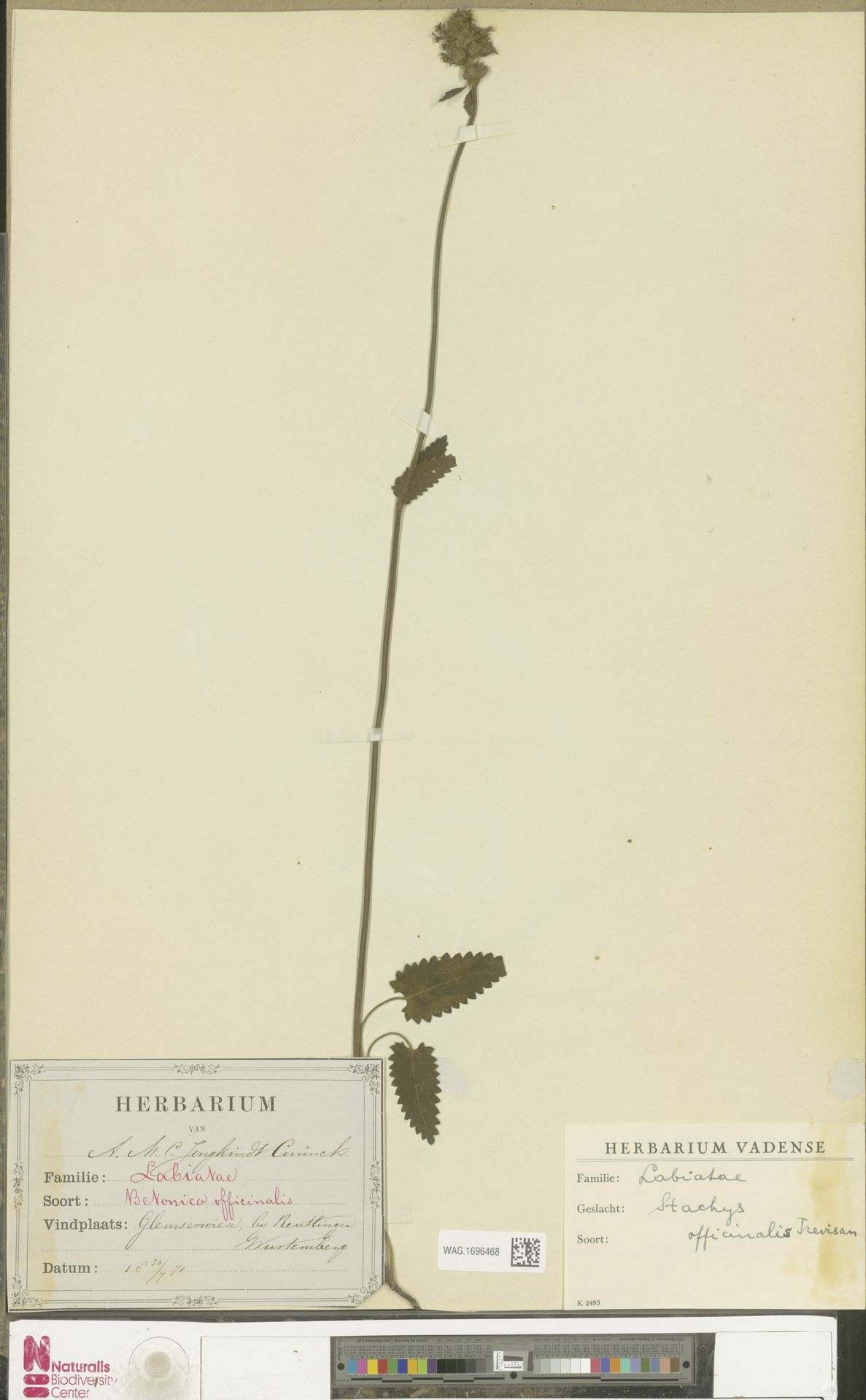 WAG.1696468   Stachys officinalis (L.) Trevis.