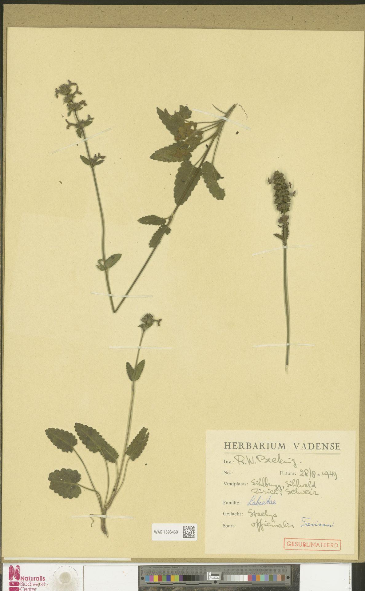 WAG.1696469   Stachys officinalis (L.) Trevis.