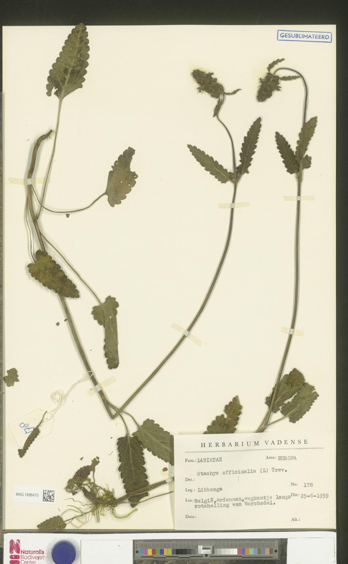 WAG.1696470 | Stachys officinalis (L.) Trevis.