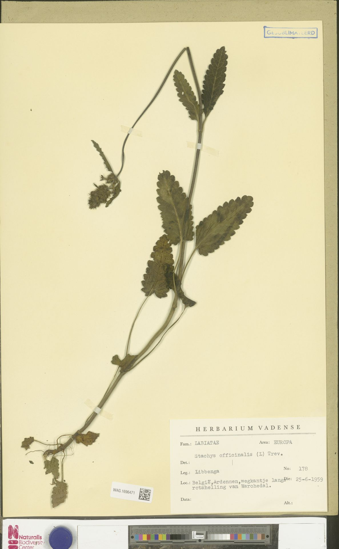 WAG.1696471 | Stachys officinalis (L.) Trevis.