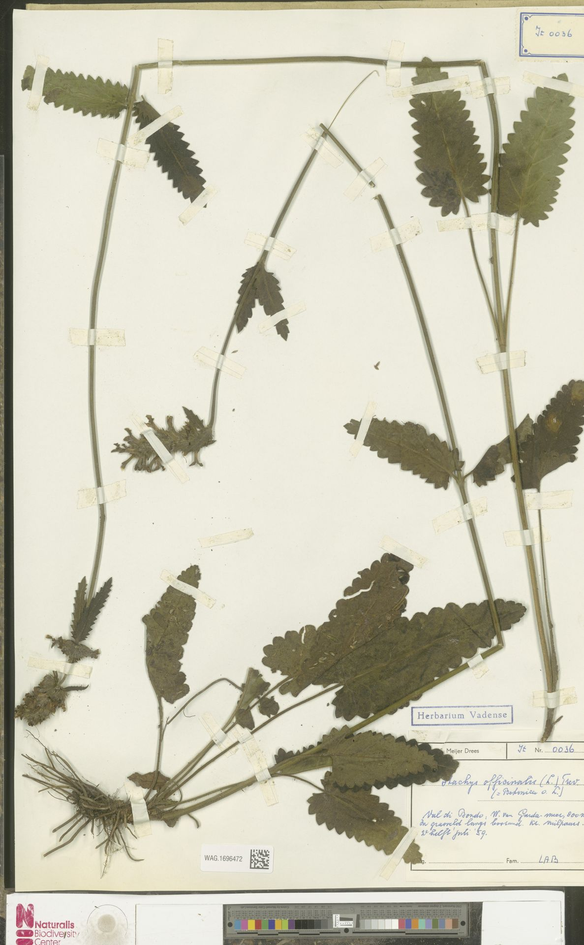 WAG.1696472 | Stachys officinalis (L.) Trevis.