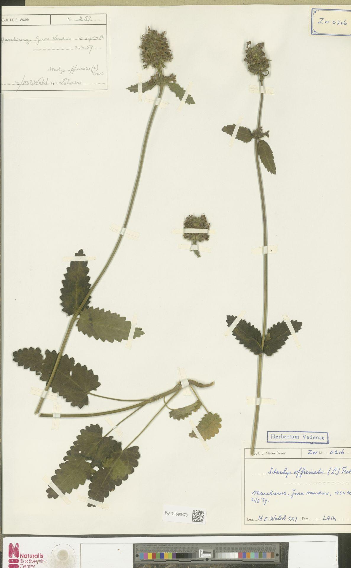 WAG.1696473 | Stachys officinalis (L.) Trevis.