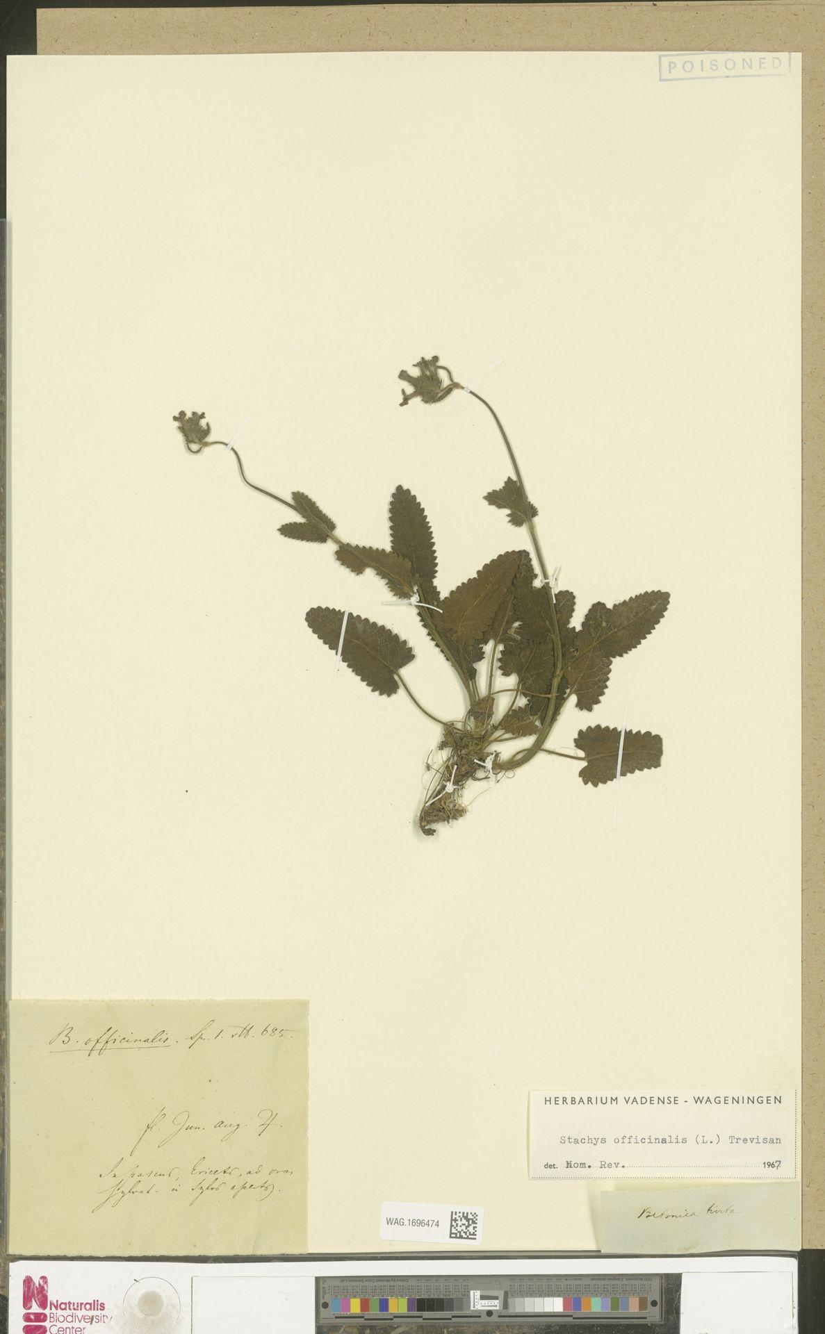 WAG.1696474 | Stachys officinalis (L.) Trevis.