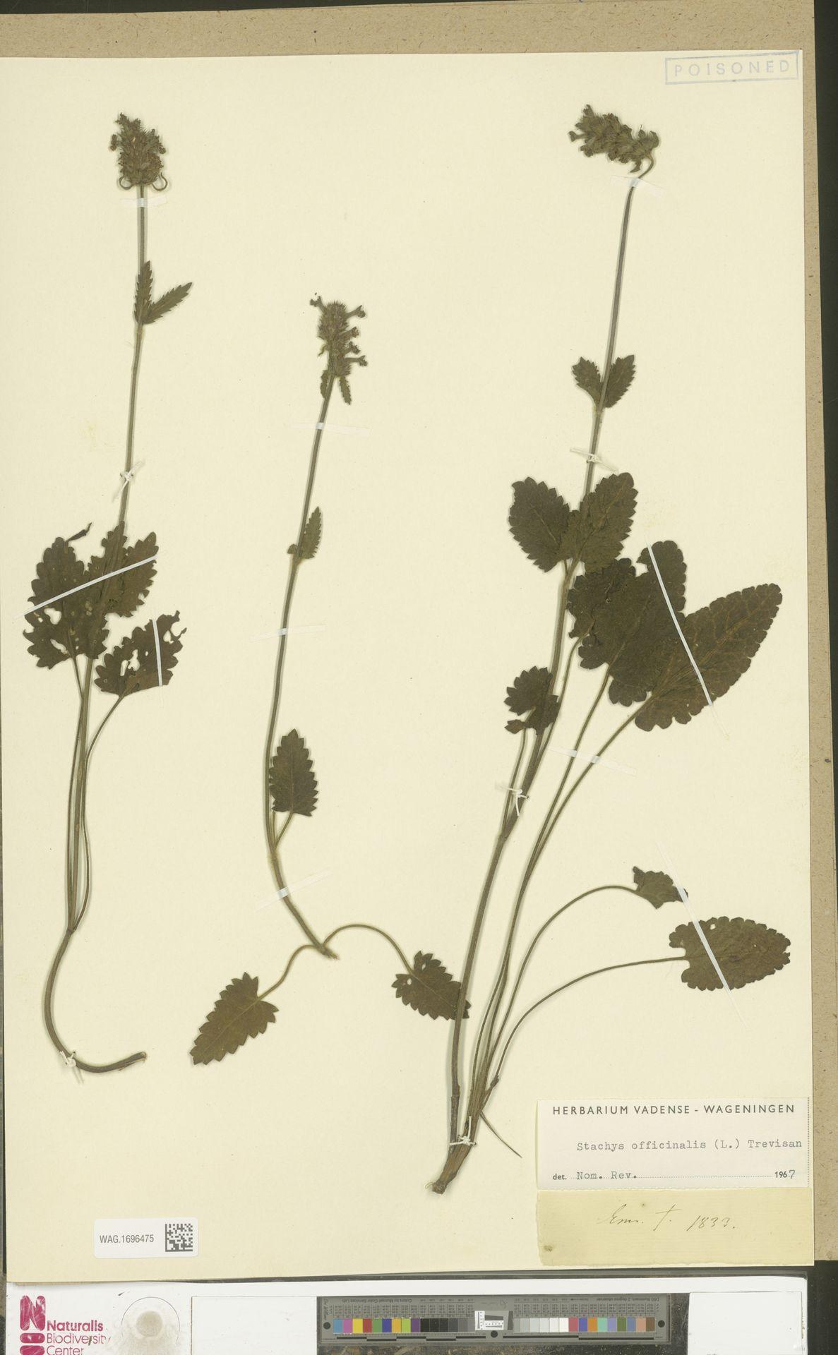 WAG.1696475 | Stachys officinalis (L.) Trevis.