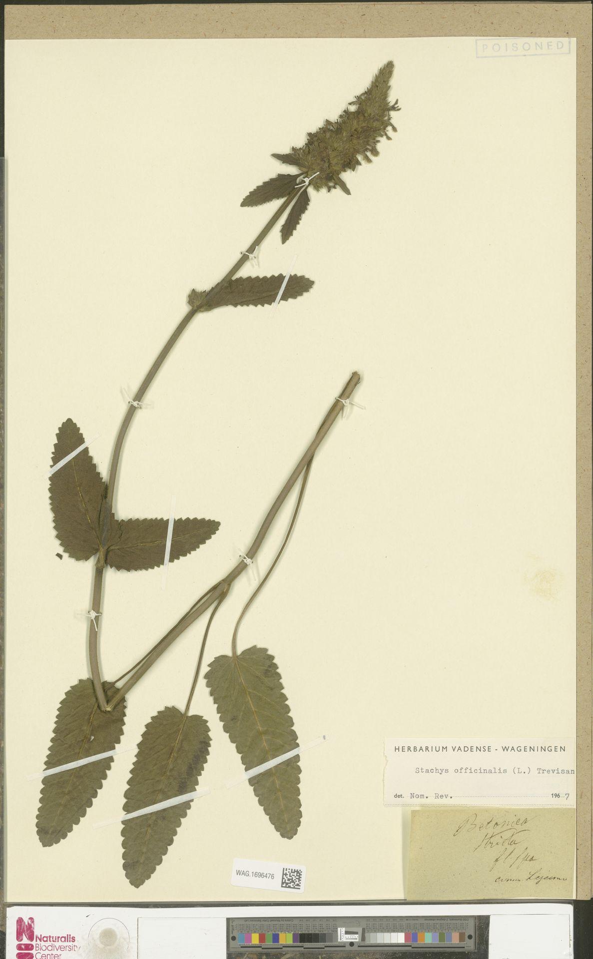 WAG.1696476 | Stachys officinalis (L.) Trevis.