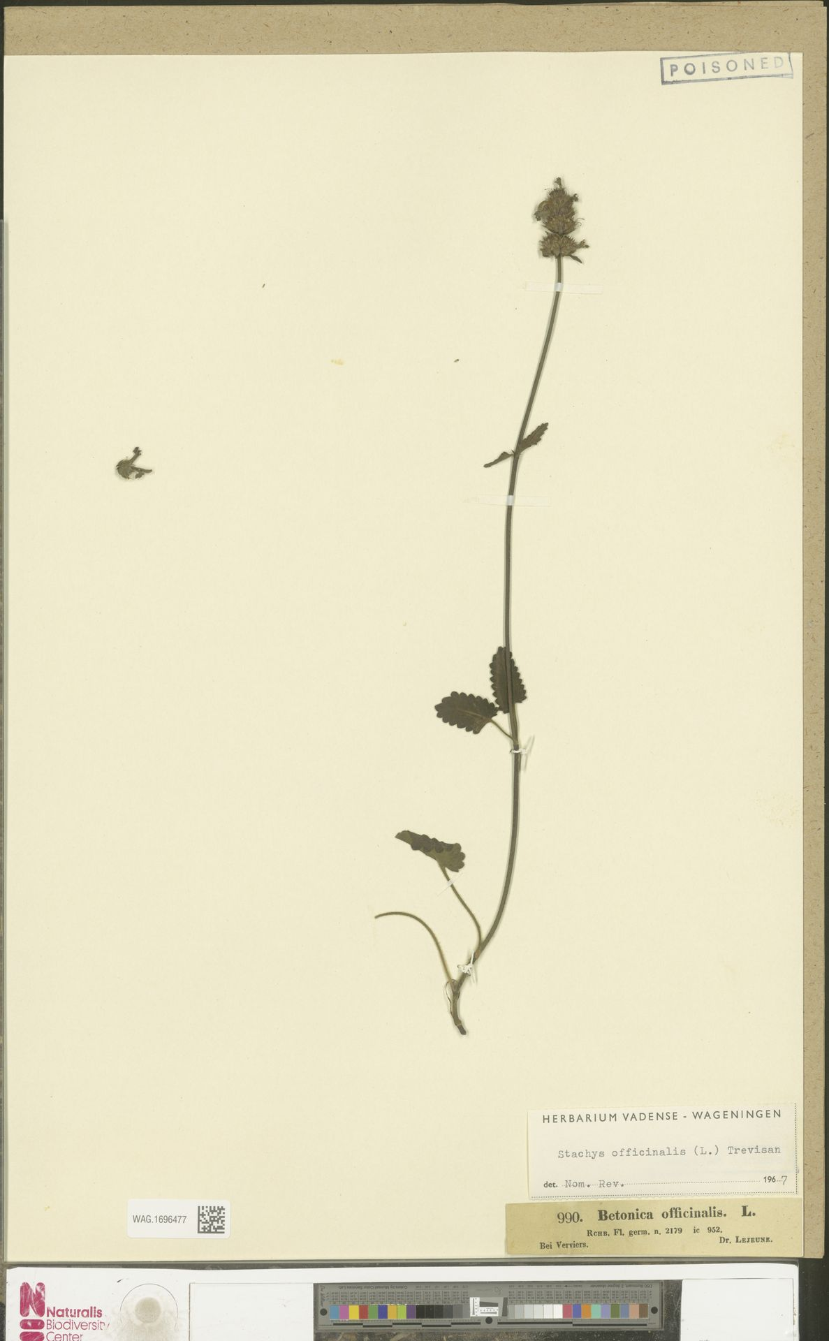 WAG.1696477 | Stachys officinalis (L.) Trevis.