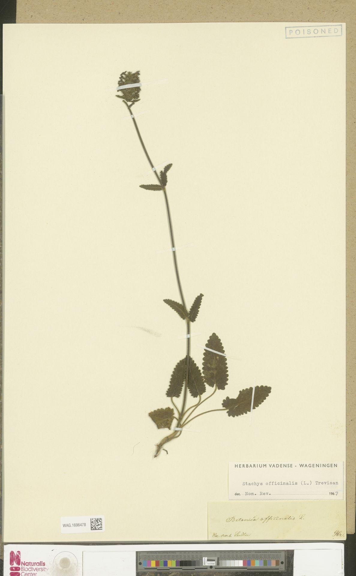 WAG.1696478 | Stachys officinalis (L.) Trevis.