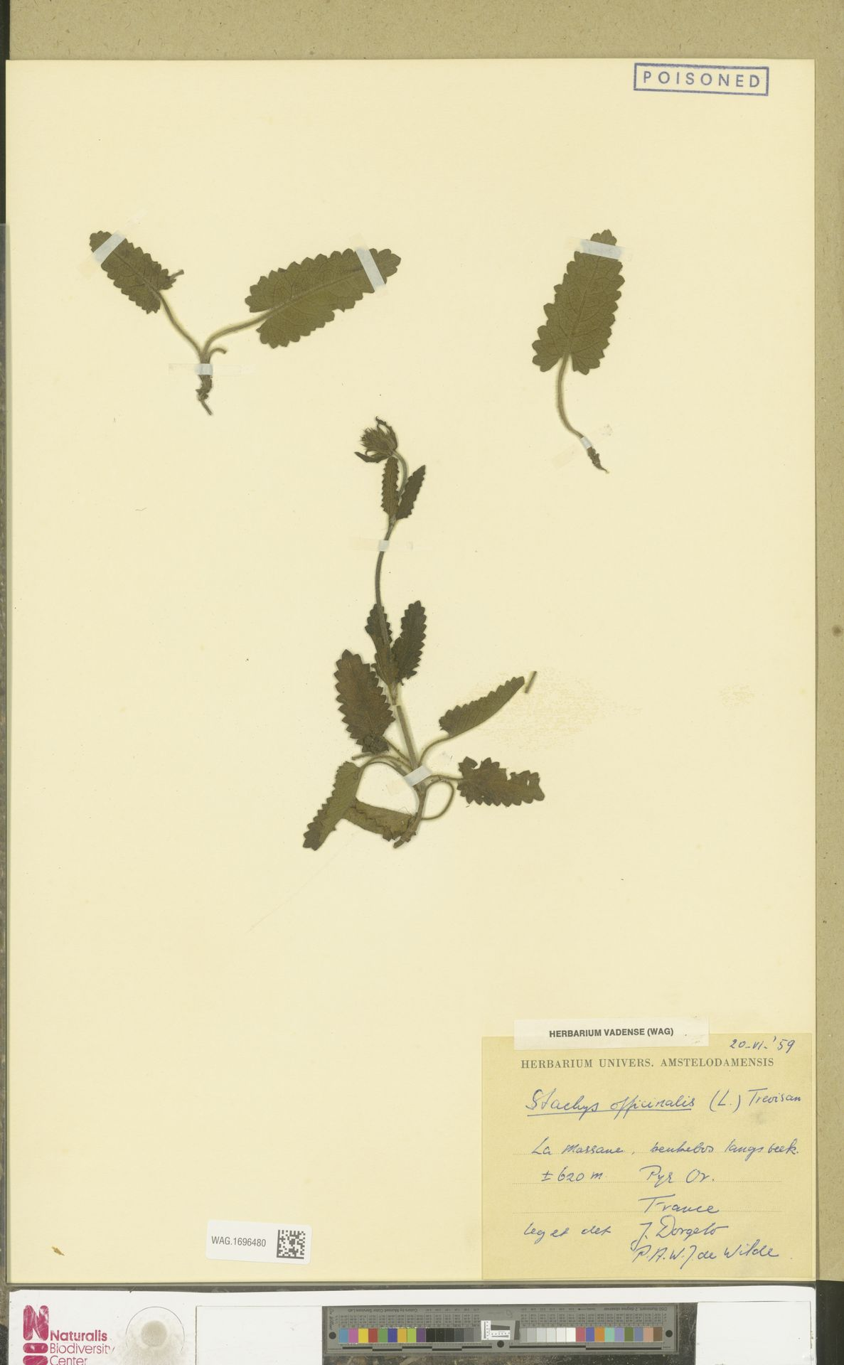 WAG.1696480 | Stachys officinalis (L.) Trevis.