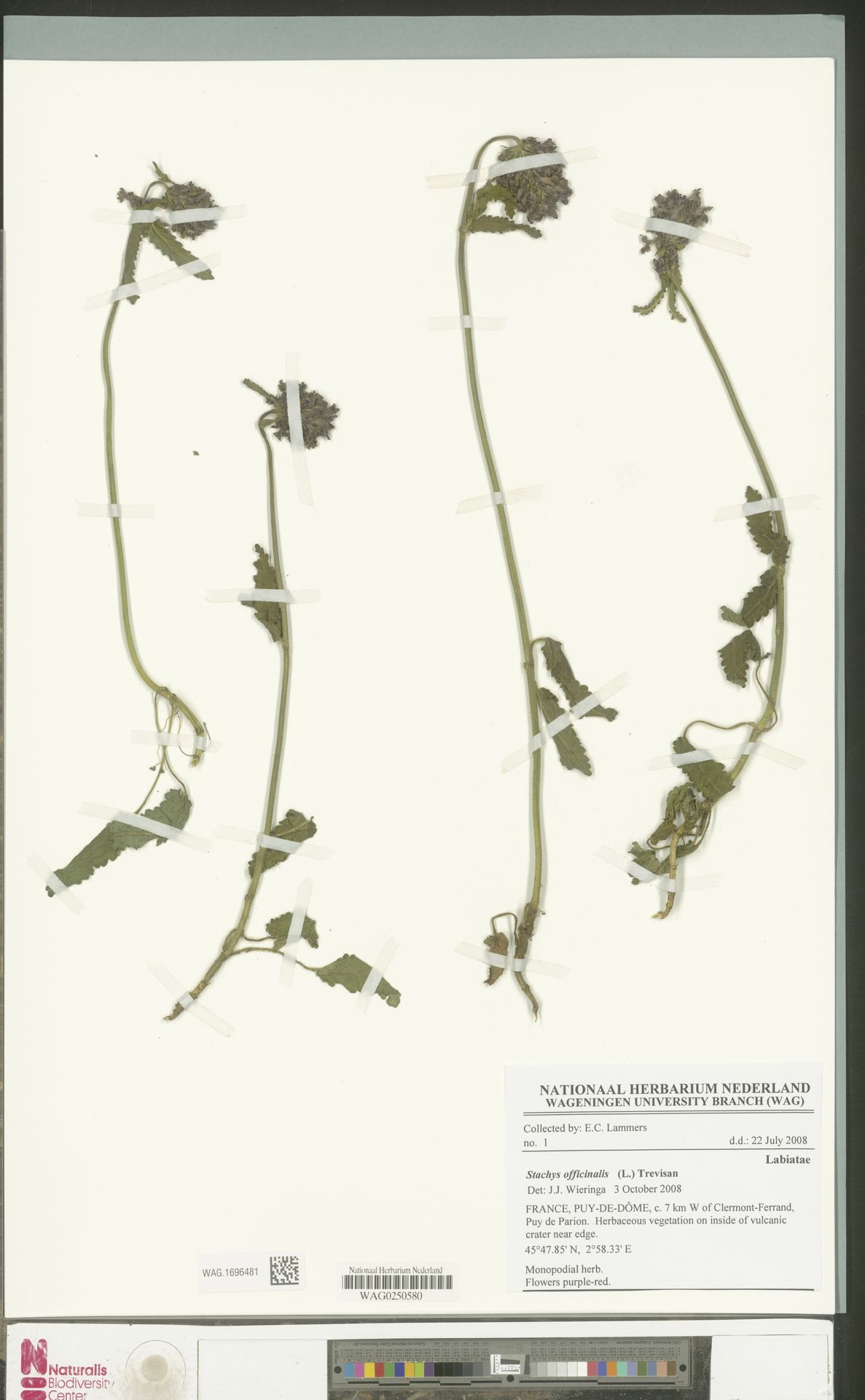 WAG.1696481 | Stachys officinalis (L.) Trevis.