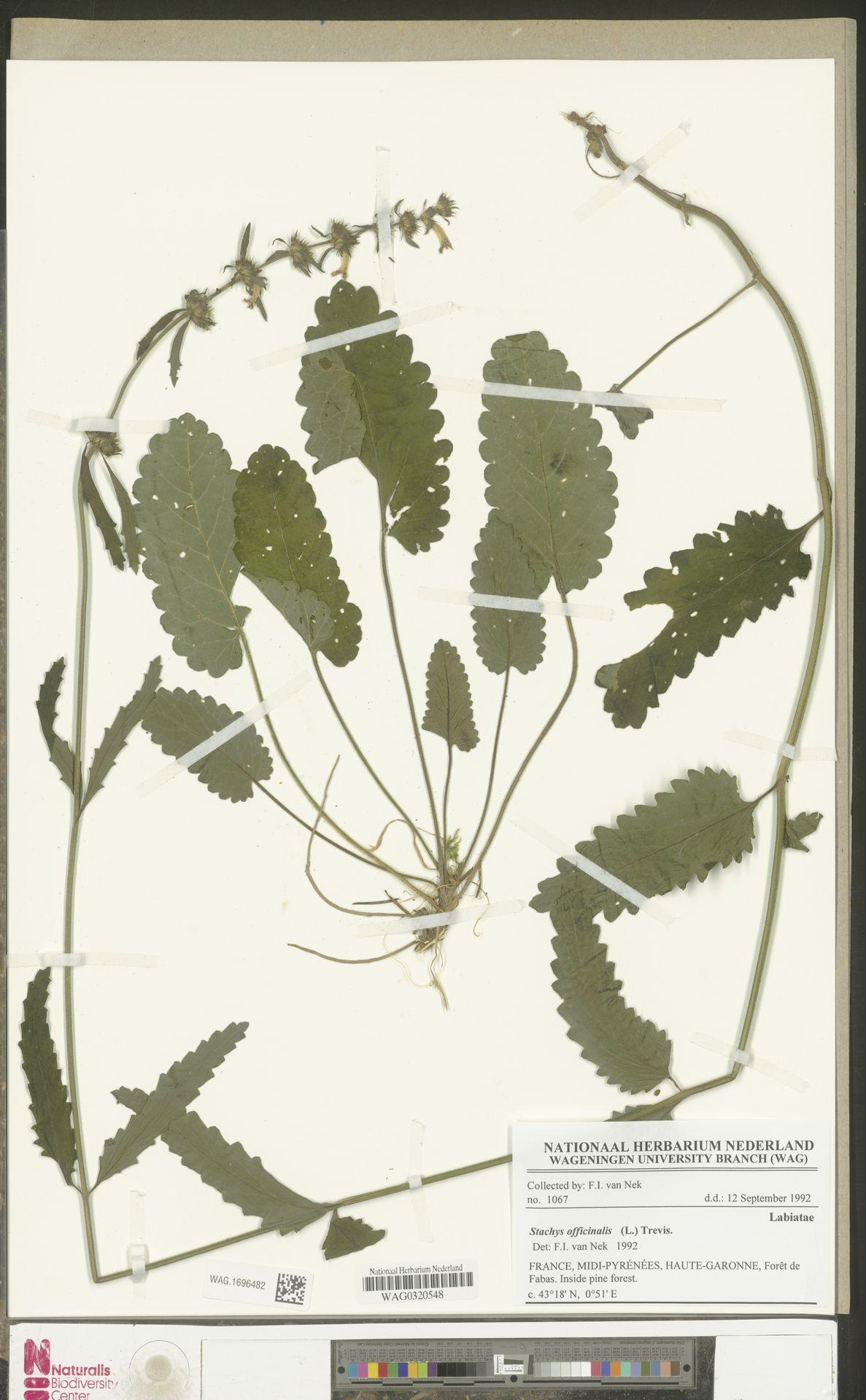 WAG.1696482 | Stachys officinalis (L.) Trevis.