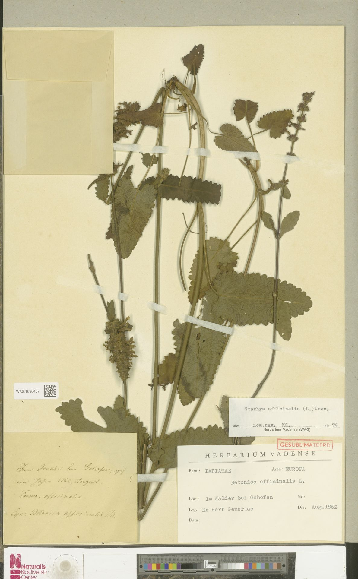 WAG.1696487   Stachys officinalis (L.) Trevis.